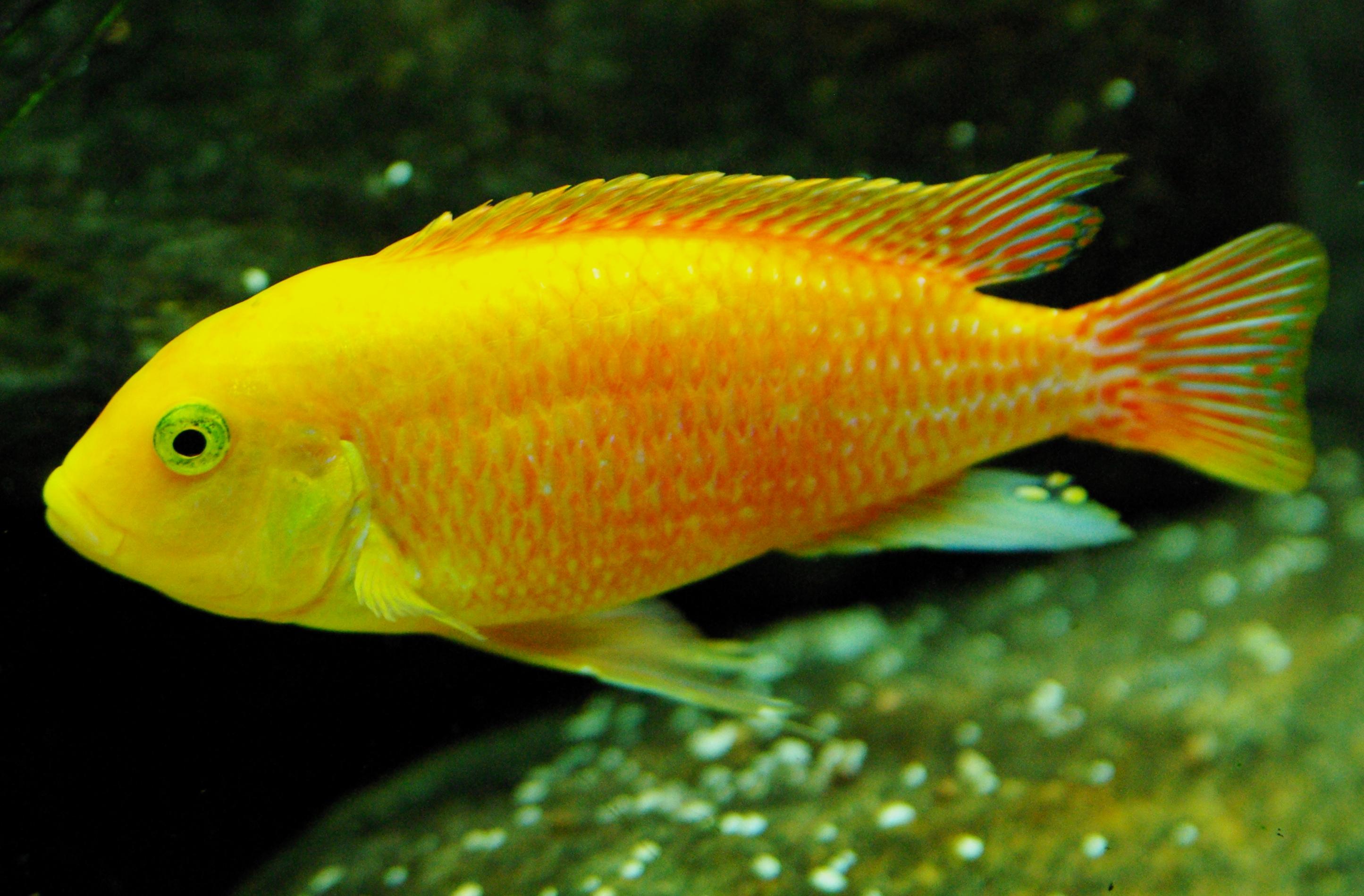 yellow cichlid fish - photo #39