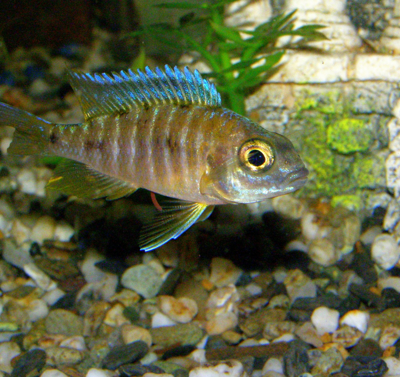 cichlids.com: Malawi Peacock...not sure maybe a sunshine peacock?
