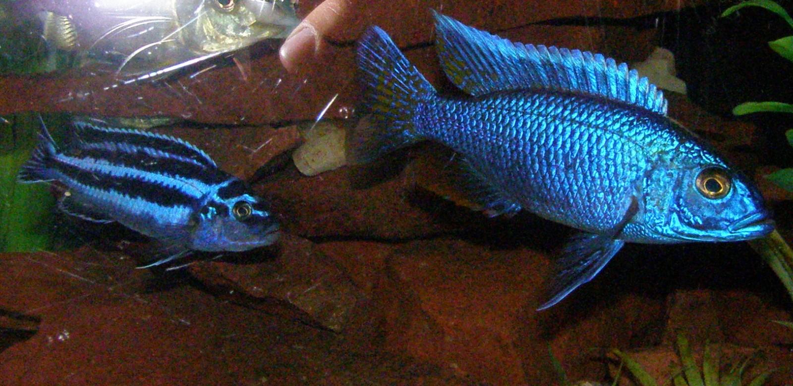 cichlids.com: Johanni and Electric Blue Hap