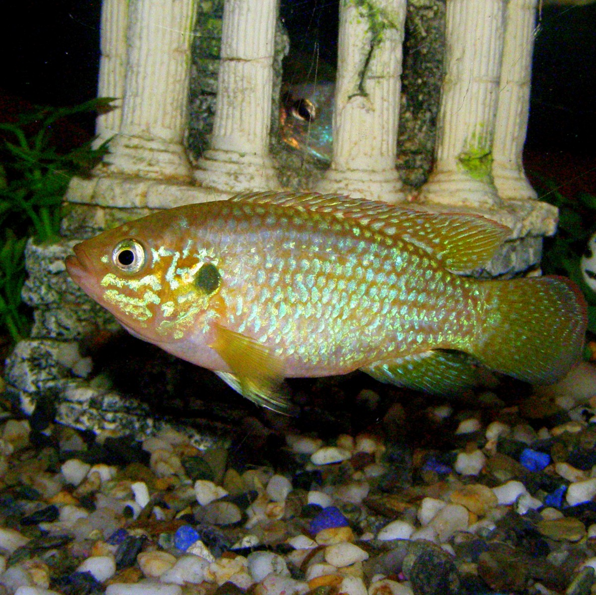 cichlids.com: Lake malawi cichlid??
