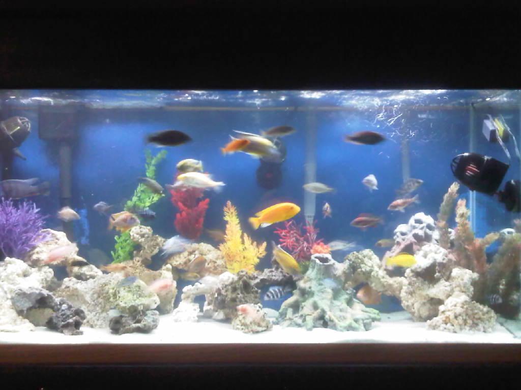 cichlids.com: Tank examples: reefs 80 gallon malawi ... 10 Gallon Fish Tank Ideas