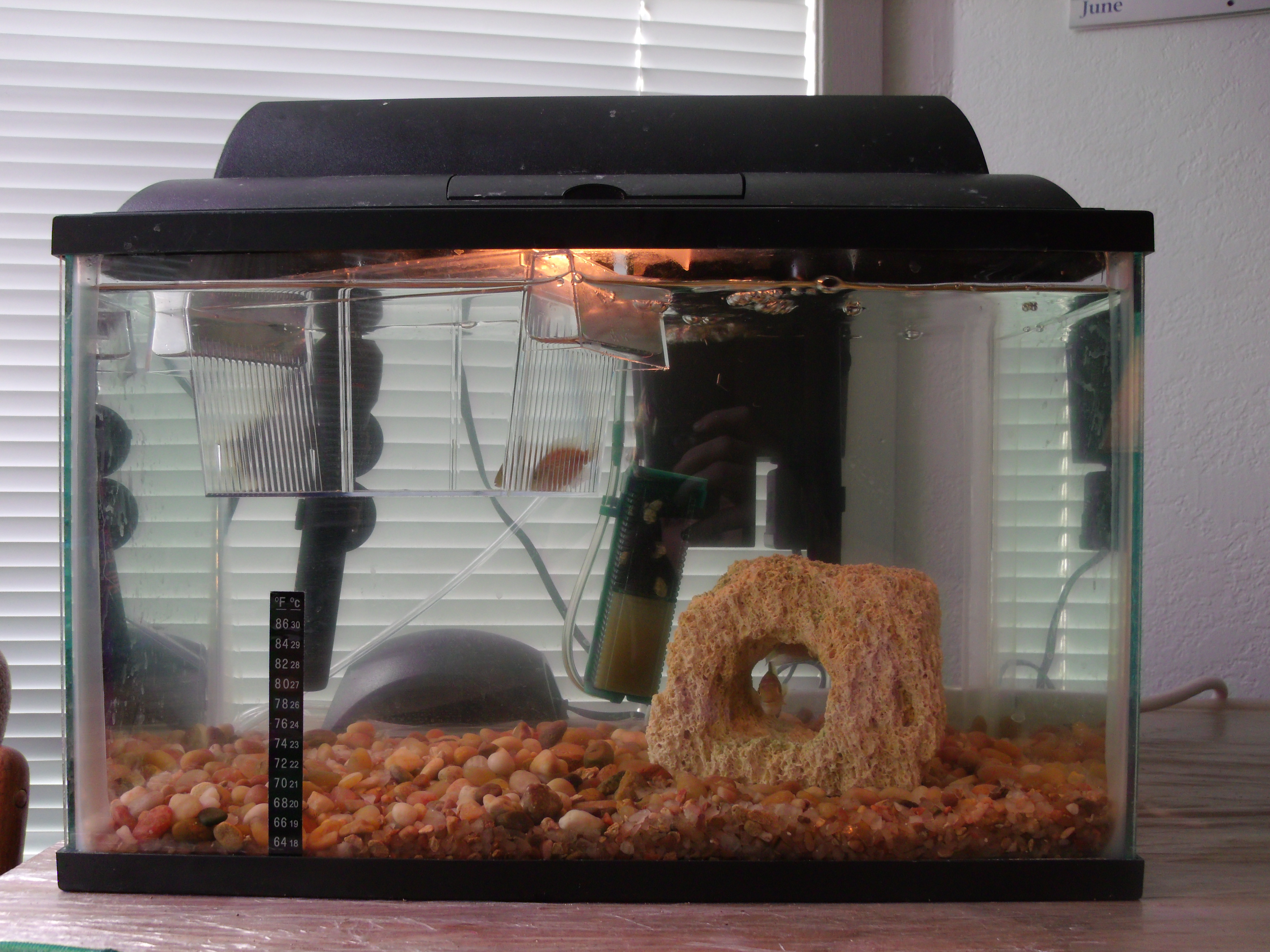 Zebra fish 5 gallon tank here are my fishes sorry the for 5 gallon fish tanks