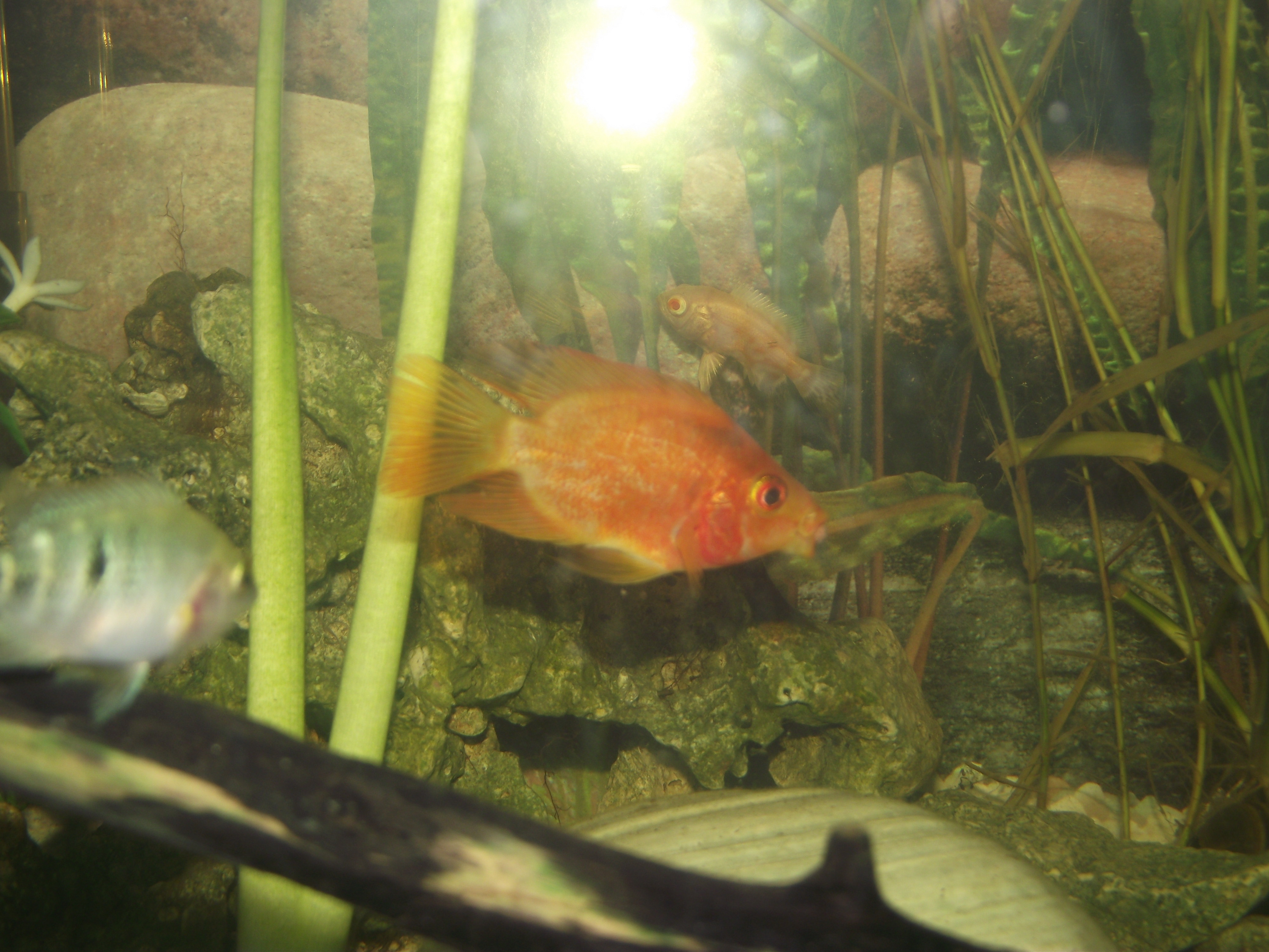 Blood red parrot cichlid for Blood parrot fish