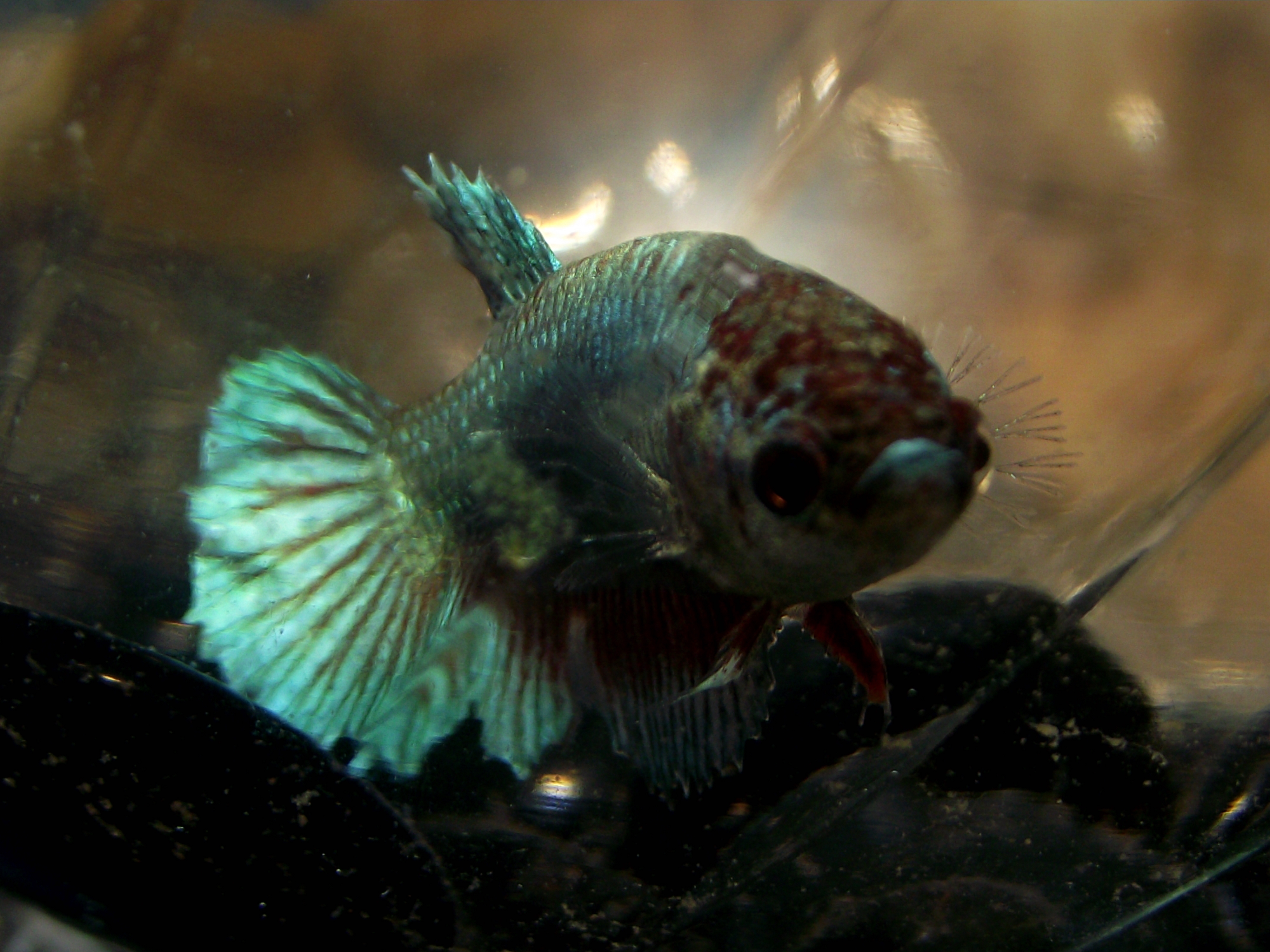 cichlids.com: female dragon plakat betta