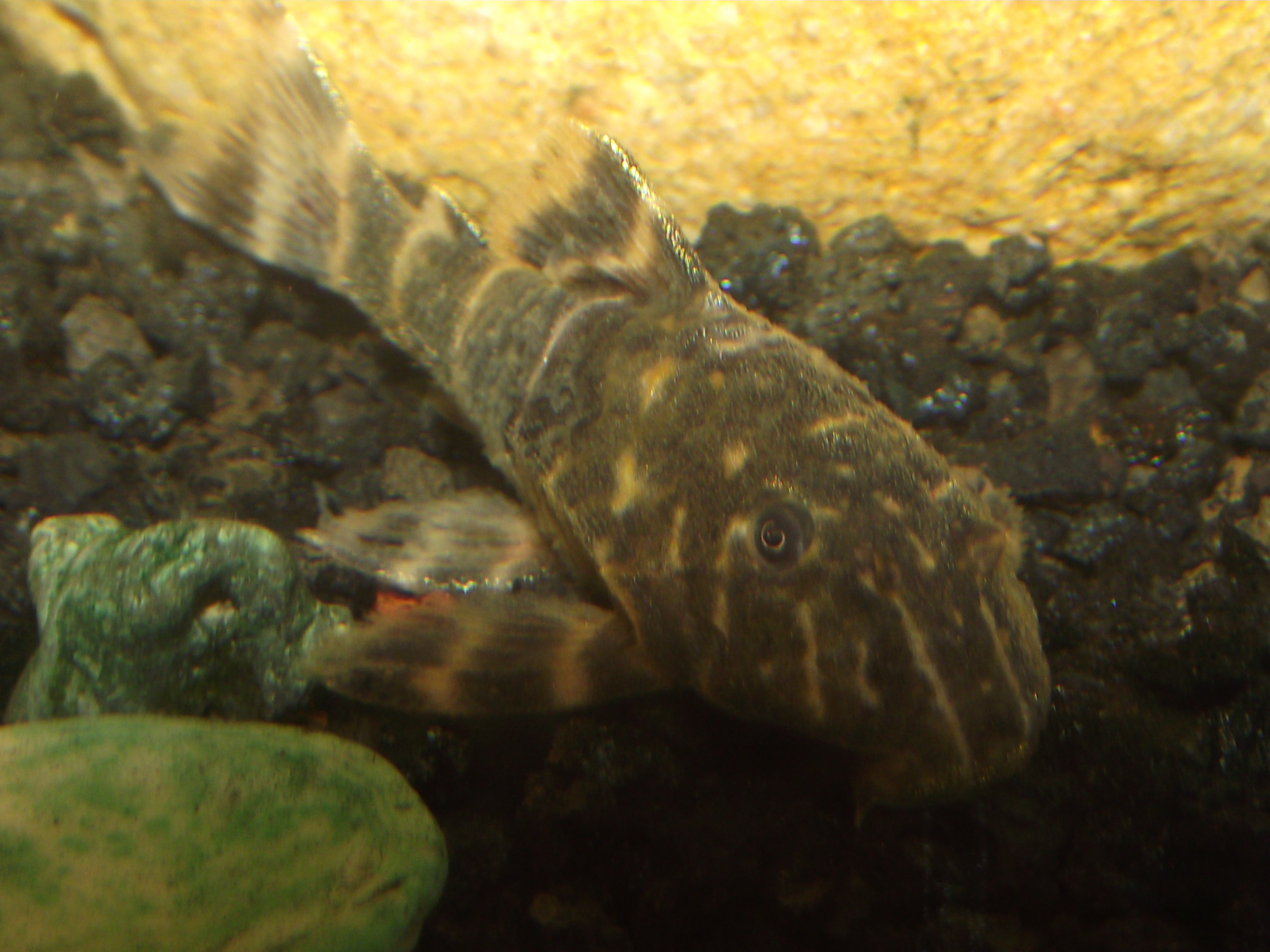 Cool Plecos Related Keywords & Suggestions - Cool Plecos Long Tail ...