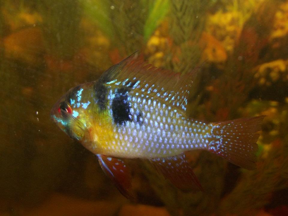 My only remaining german blue ram for German ram fish