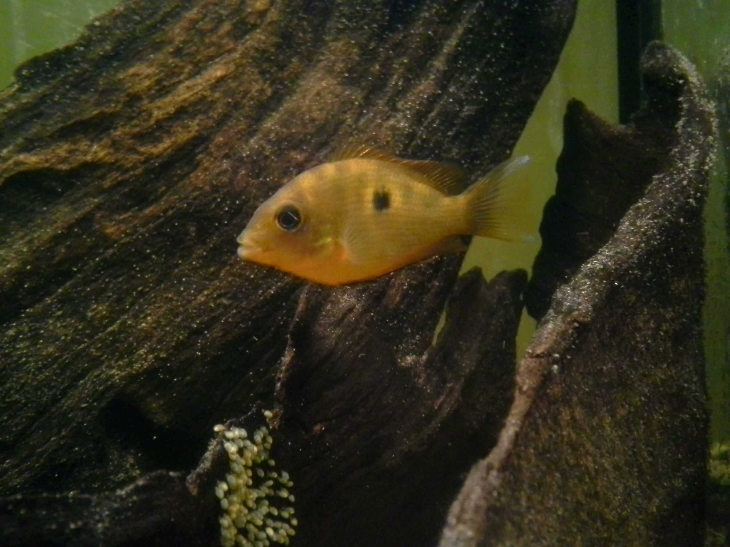 cichlids.com: does anyone have chromides? green or orange