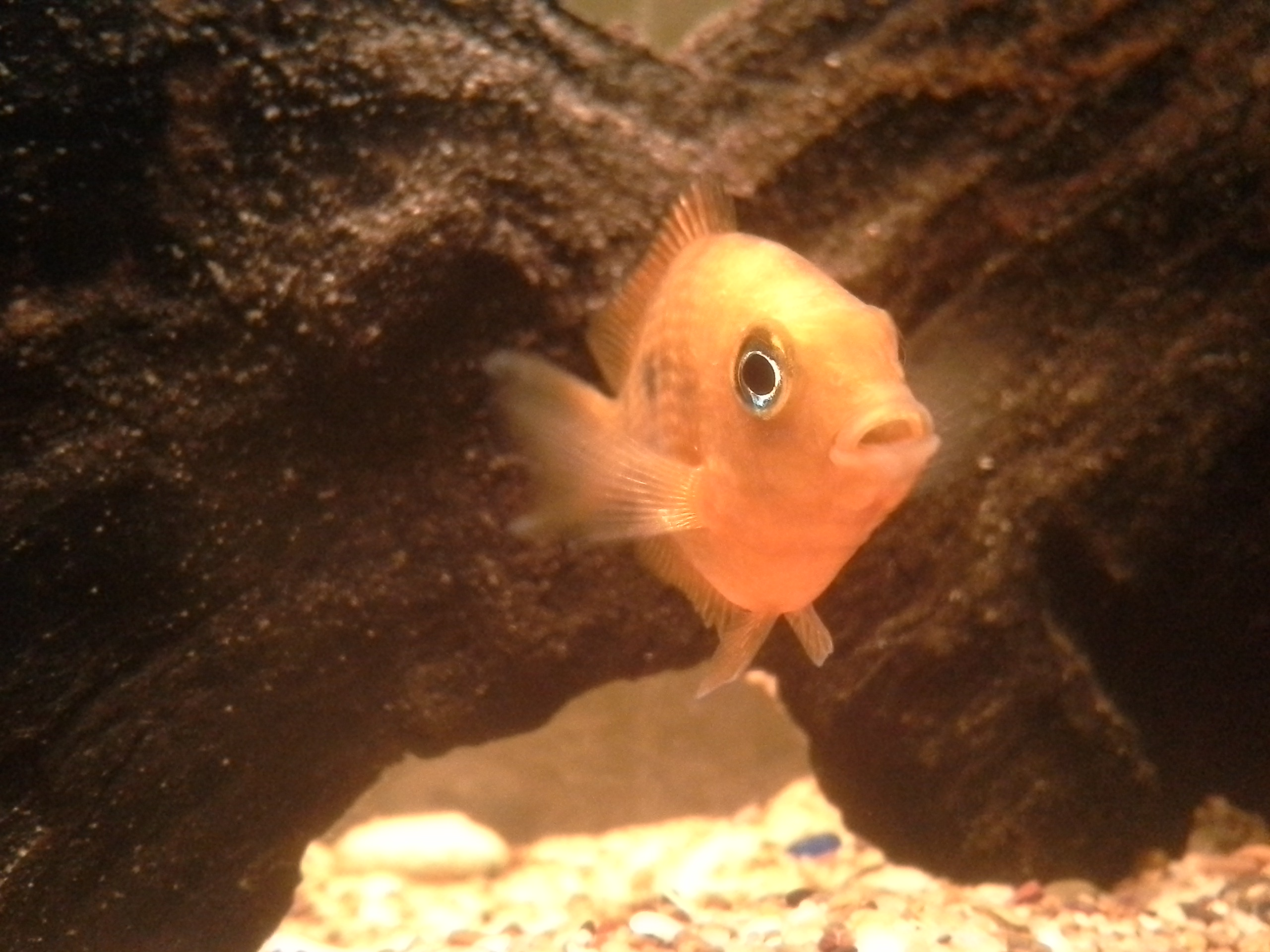 cichlids.com: asian cichlids/ orange chromides