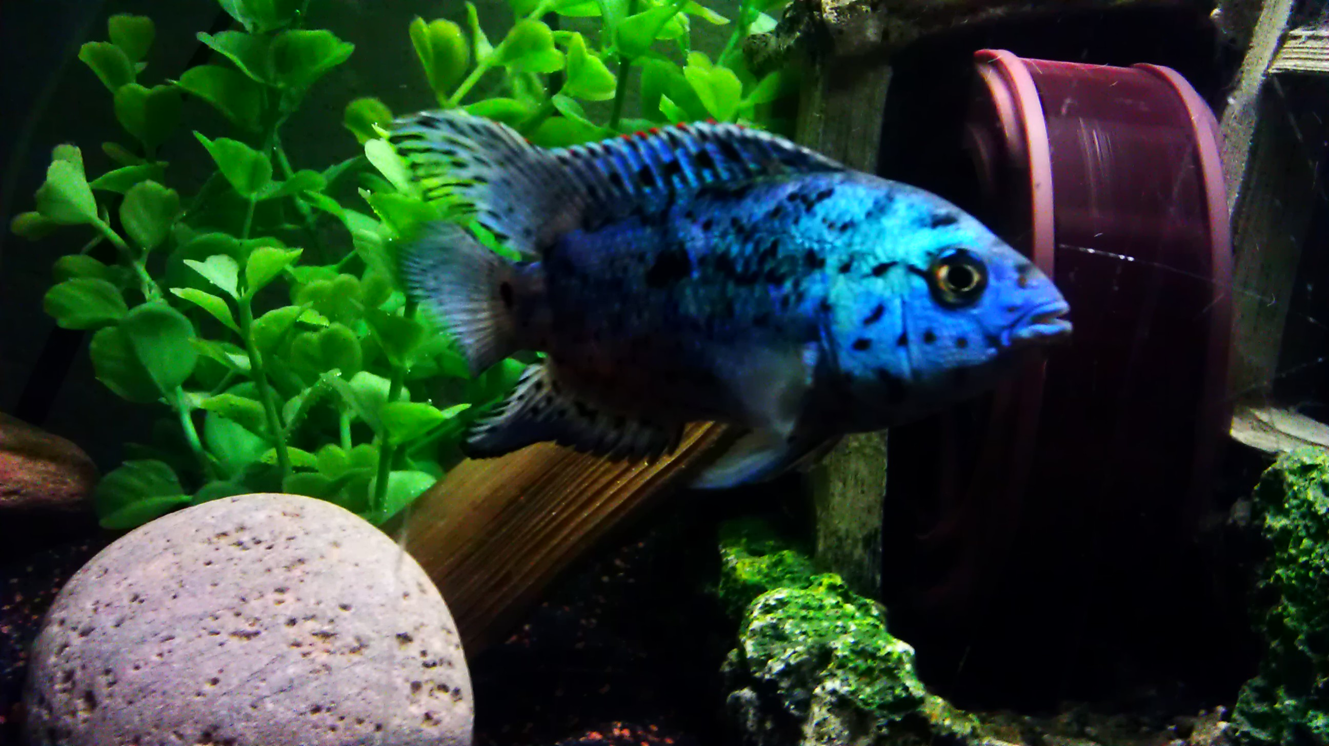 Fish Tank Maintenance Service San Diego additionally T112 Le Poisson Roseau Erpetoichthys Calabaricus Menace D Extinction moreover Small Fish Tank Maintenance Contract additionally Different Pleco Species also Tiger Oscar South American Cichlid. on oscar fish tankmates