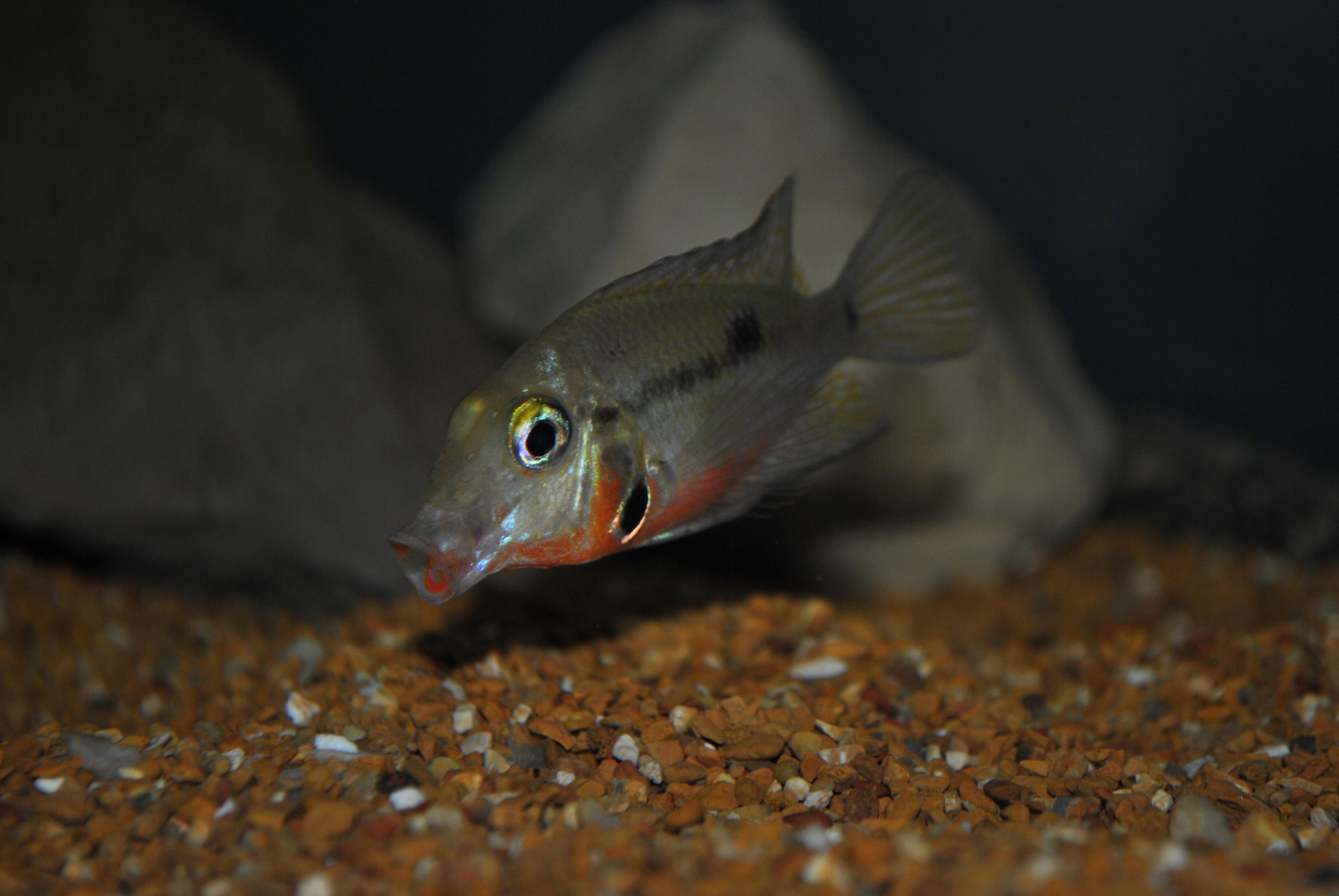 Firemouth Cichlid Juvenile cichlids.com: Juvenile...
