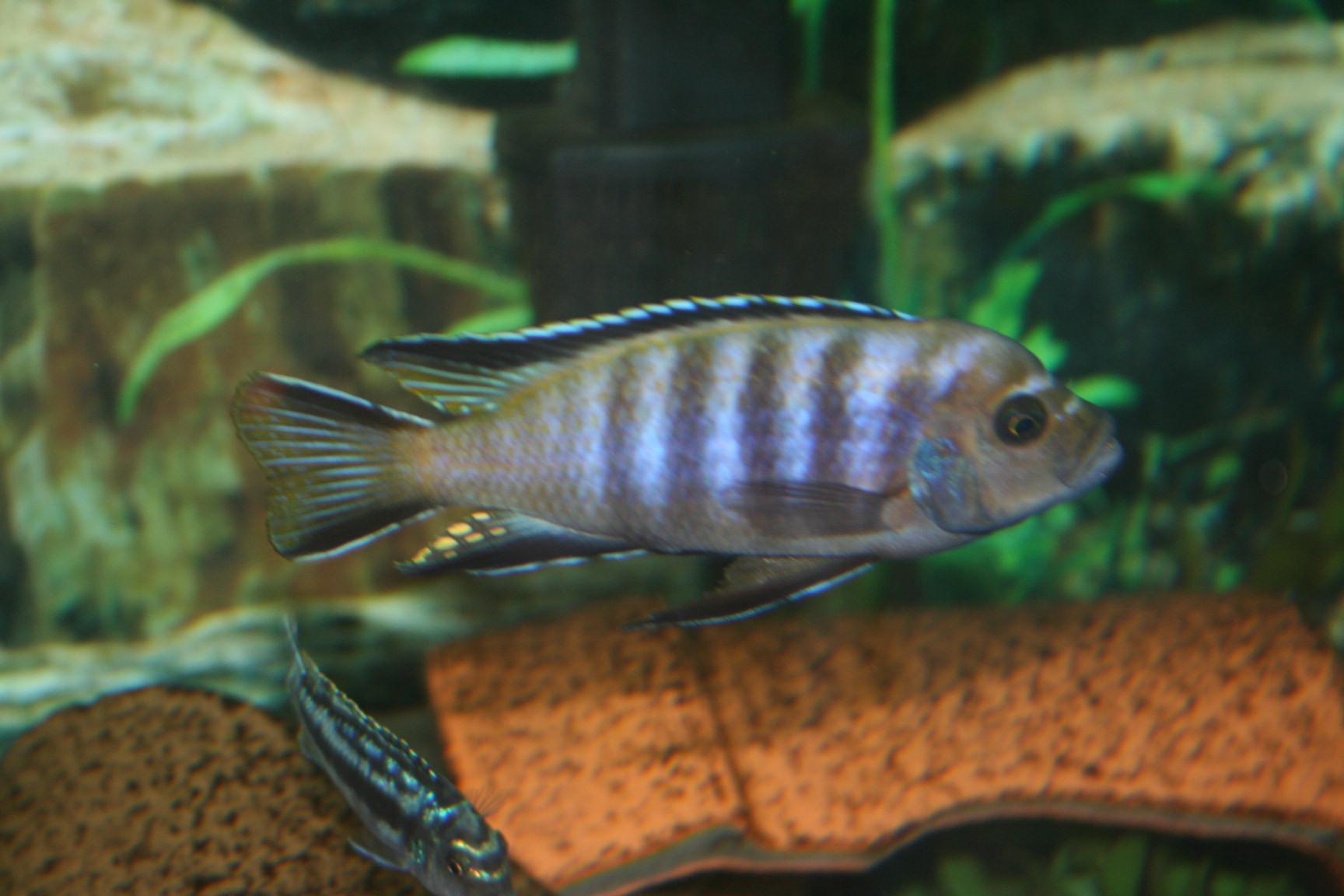 cichlids.com: Lupingu Purple