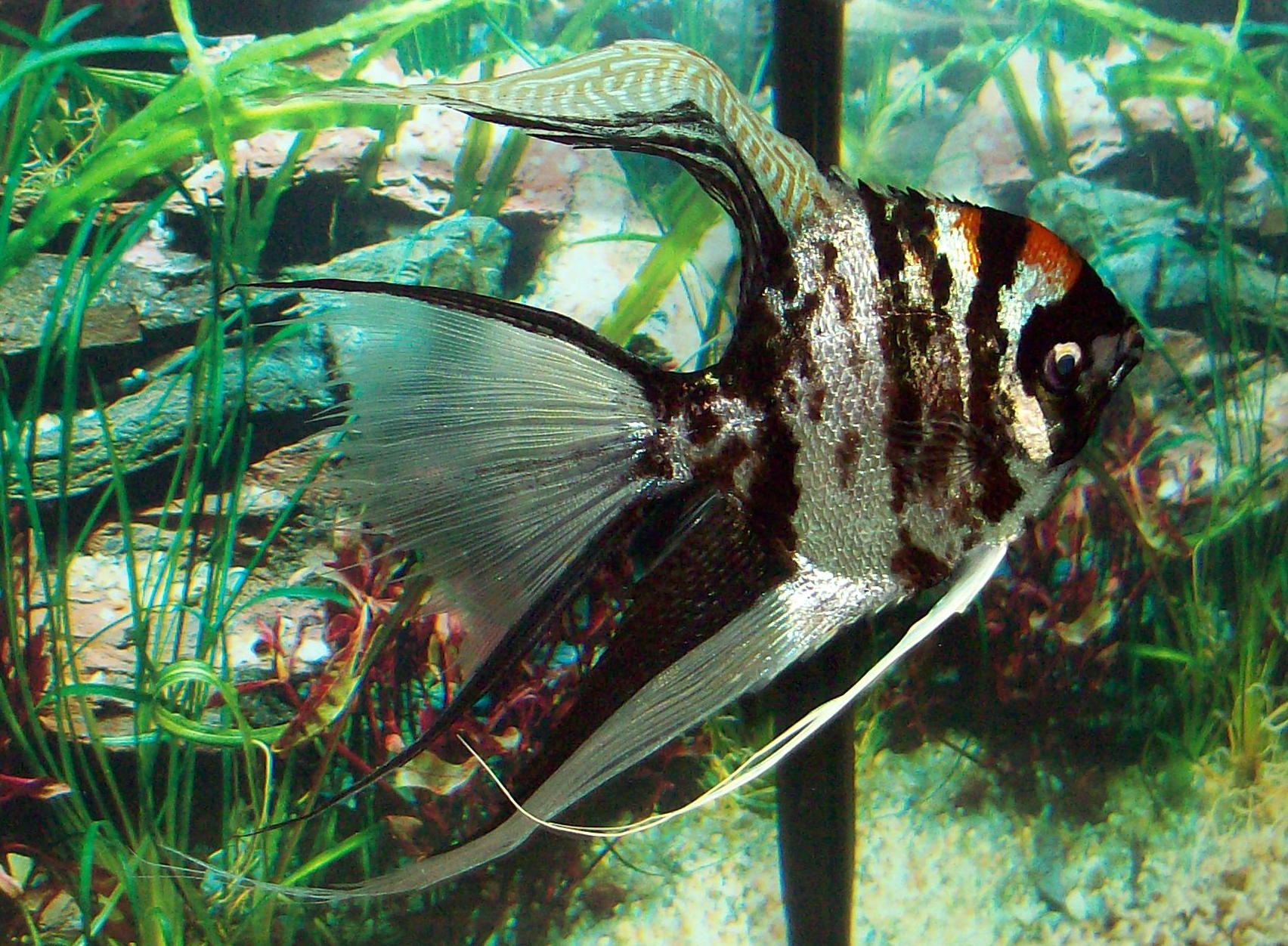 cichlids.com: angel fish..
