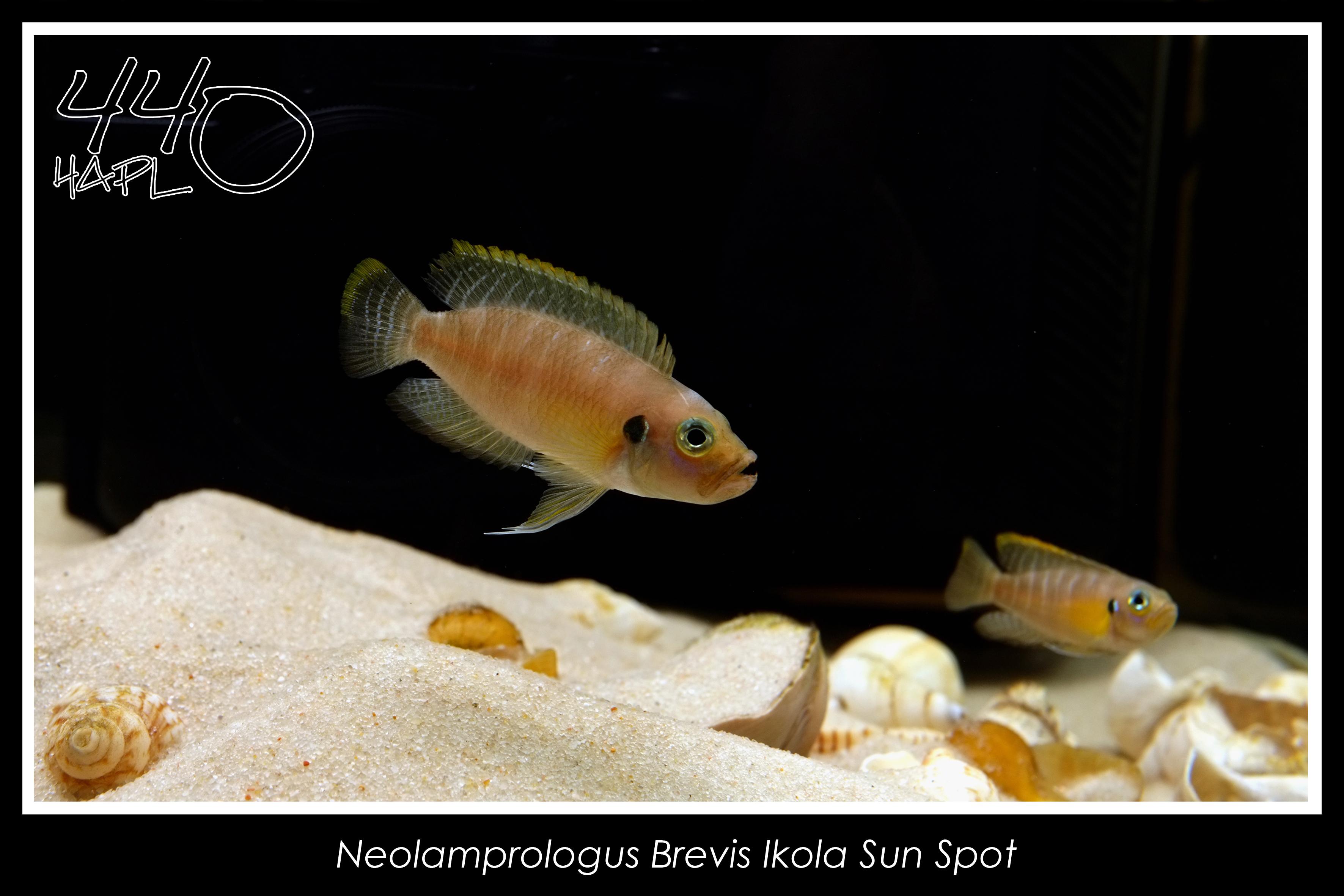 Neolamprologus Brevis cichlids.com: Neolampr...