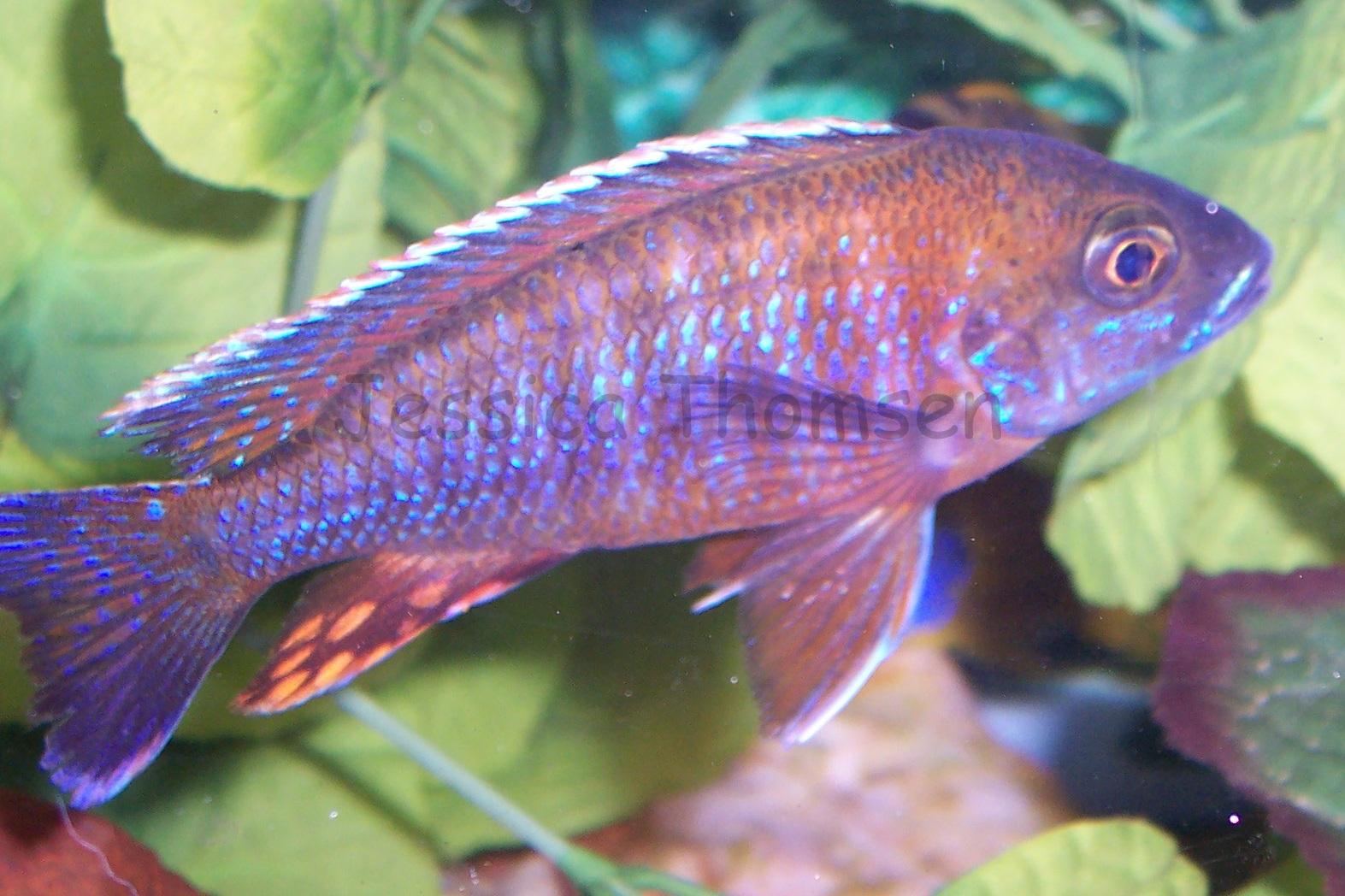 Ruby red cichlid female - photo#19