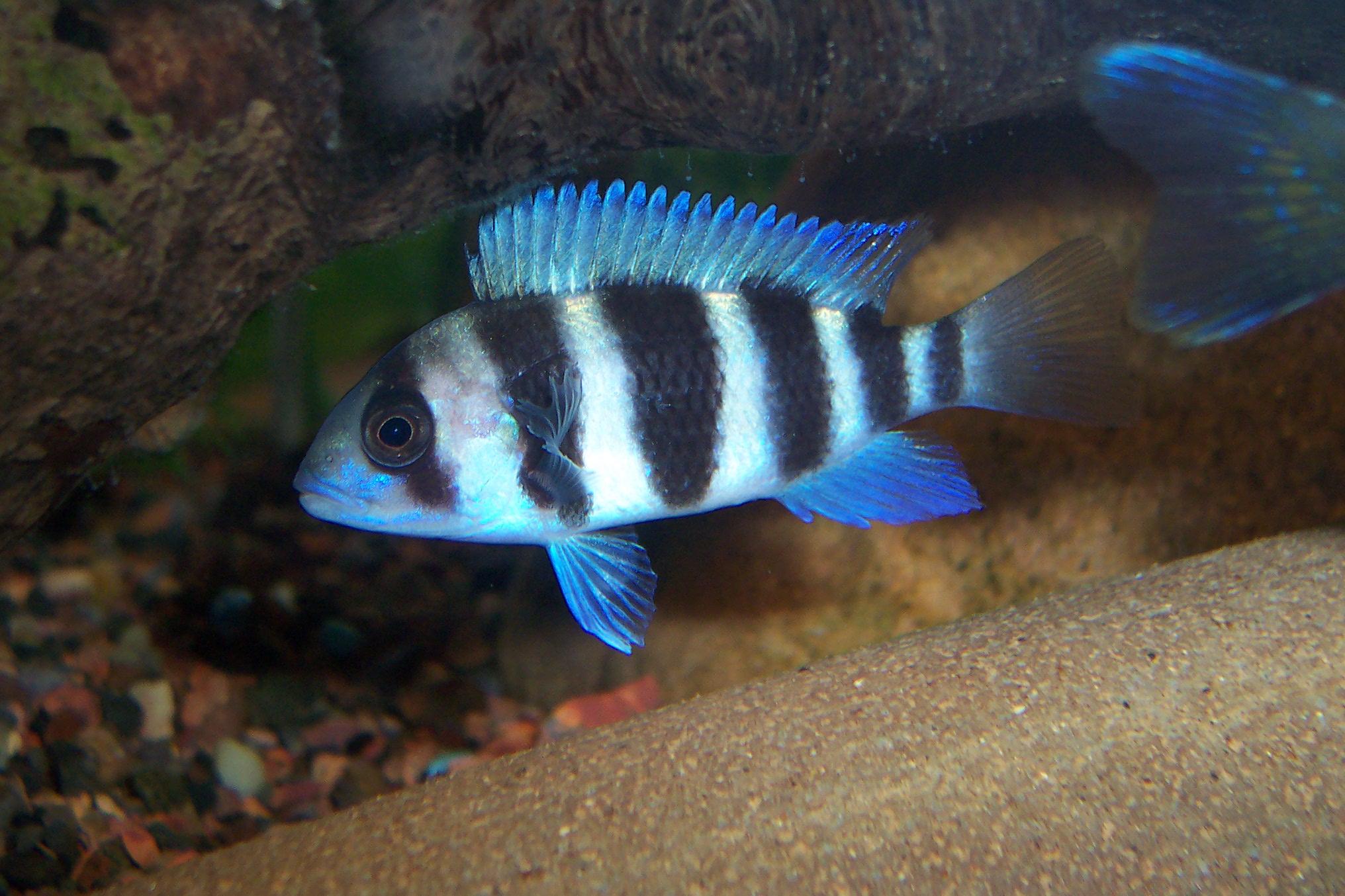 cichlids.com: #2 Frontosa