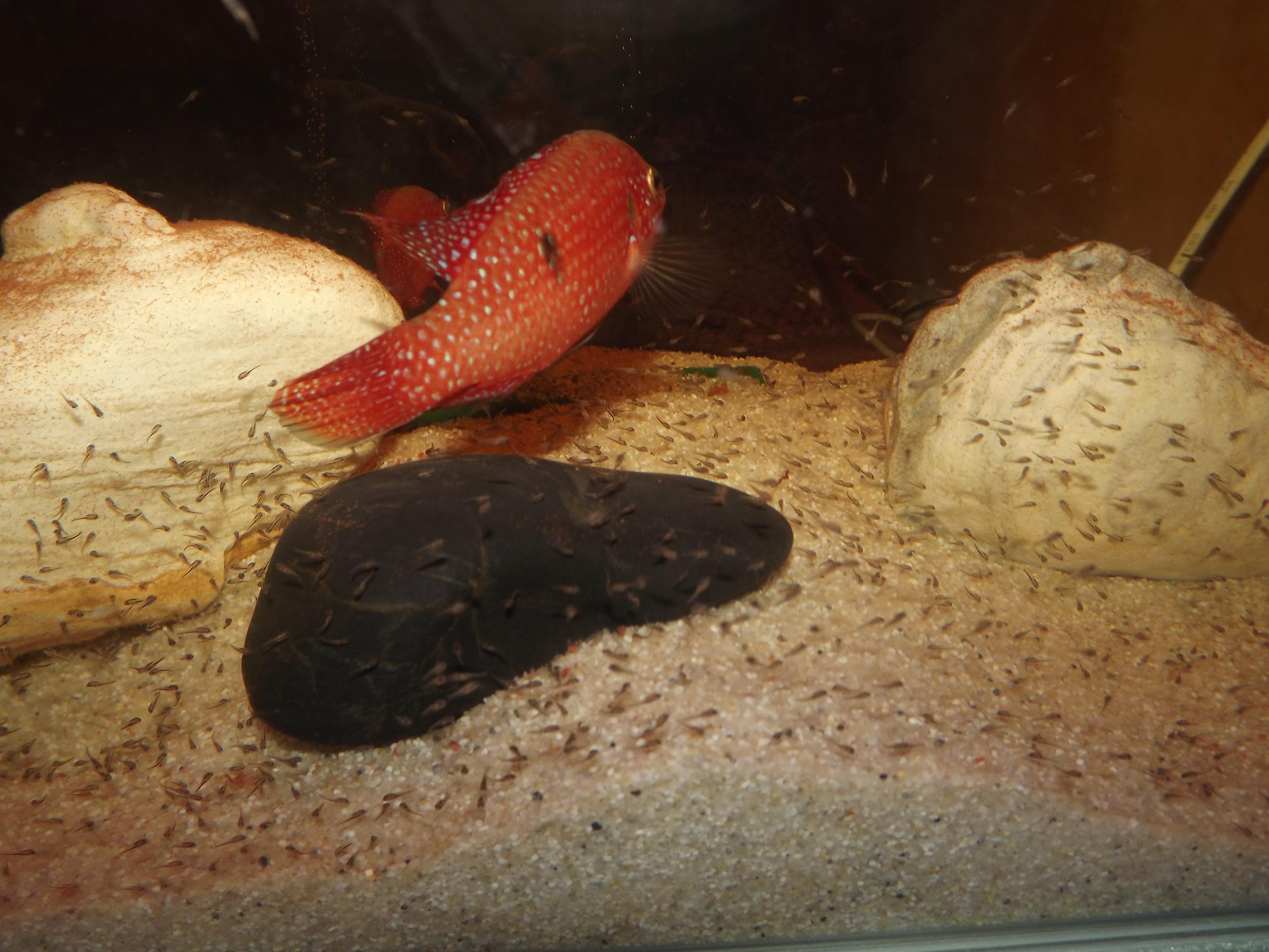 Jewel Cichlid Hemichromis Bimaculatus The Originated Picture