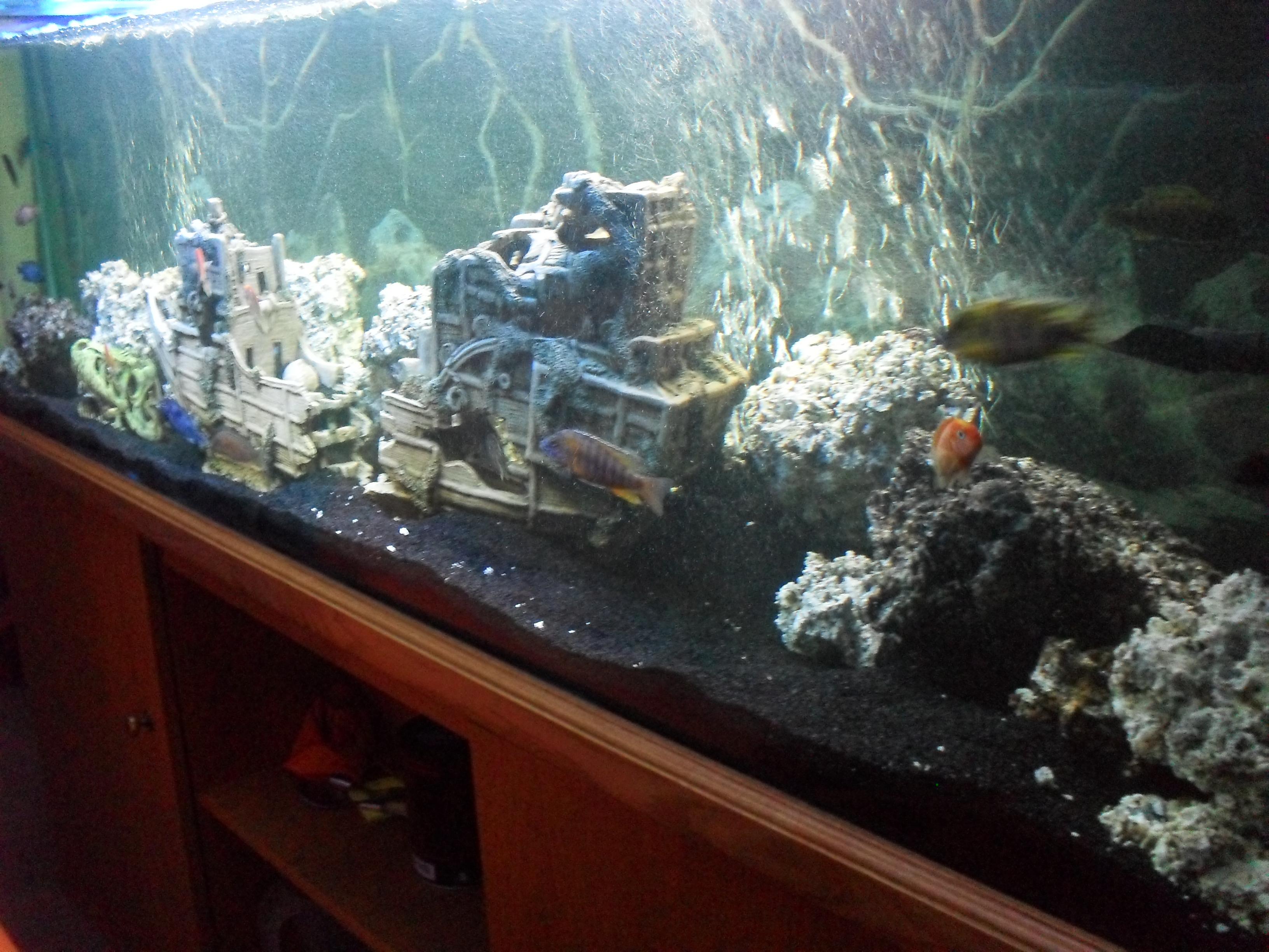 Angelfish community tank related keywords angelfish for Black sand fish tank