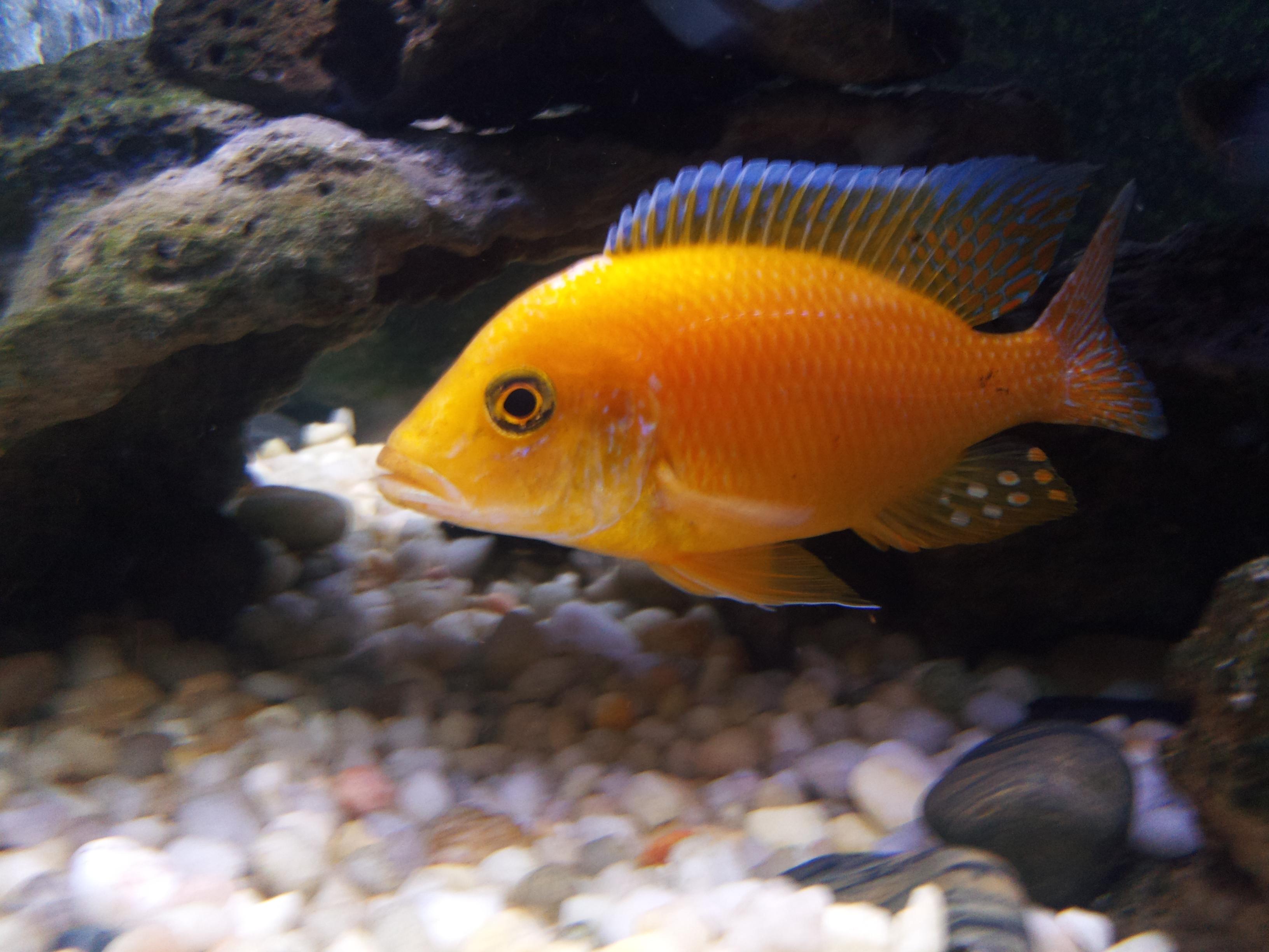 cichlids.com: golden peacock