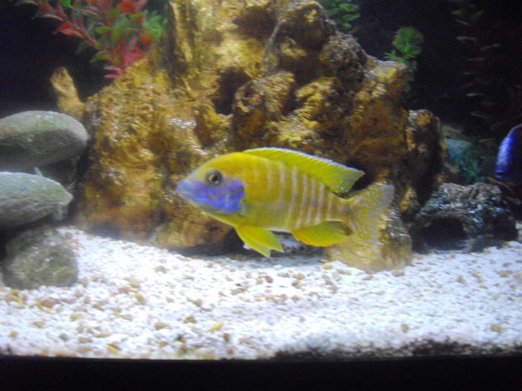 cichlids.com: Orange Peacock