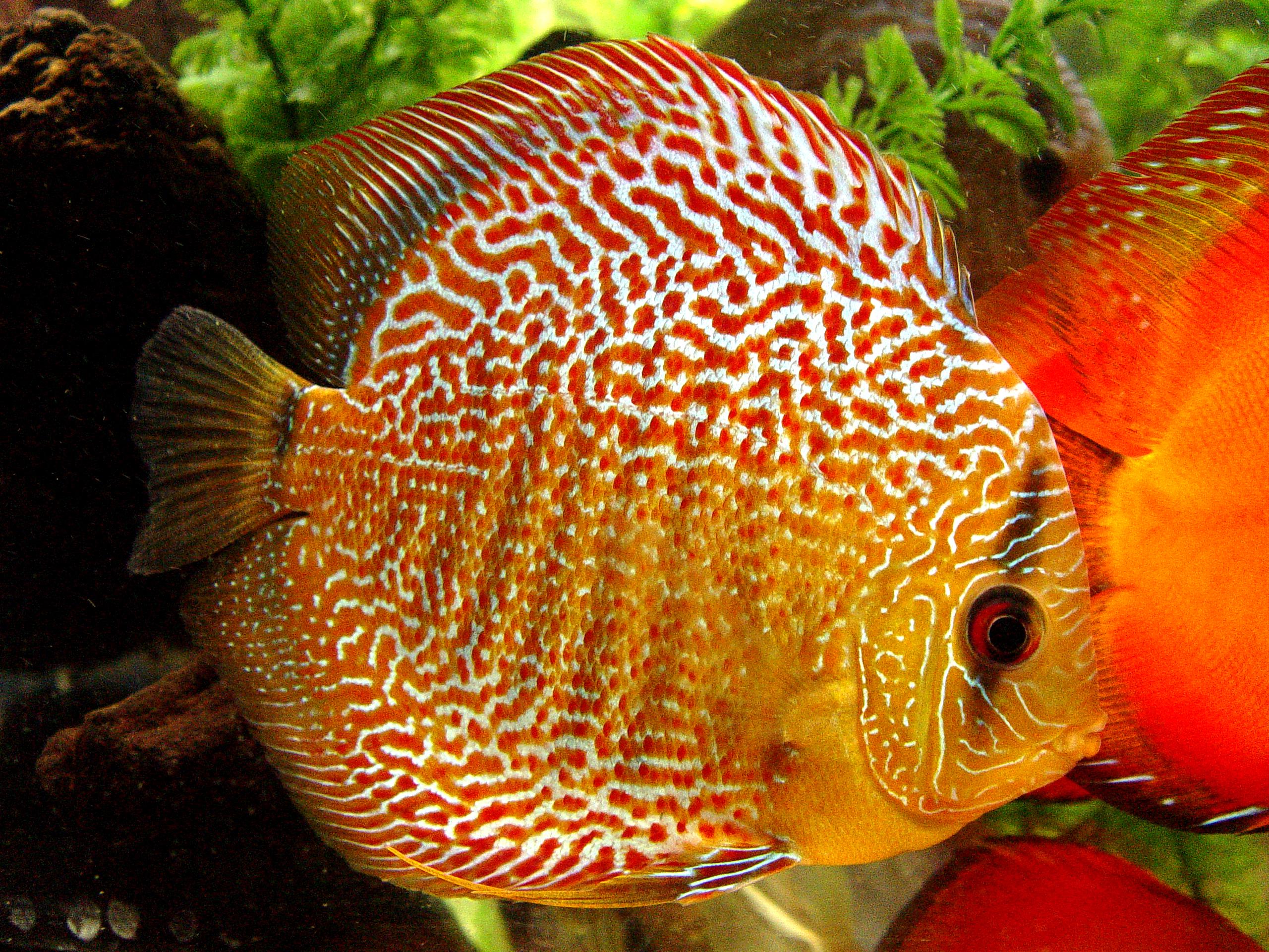 Discus fish pictures part 1