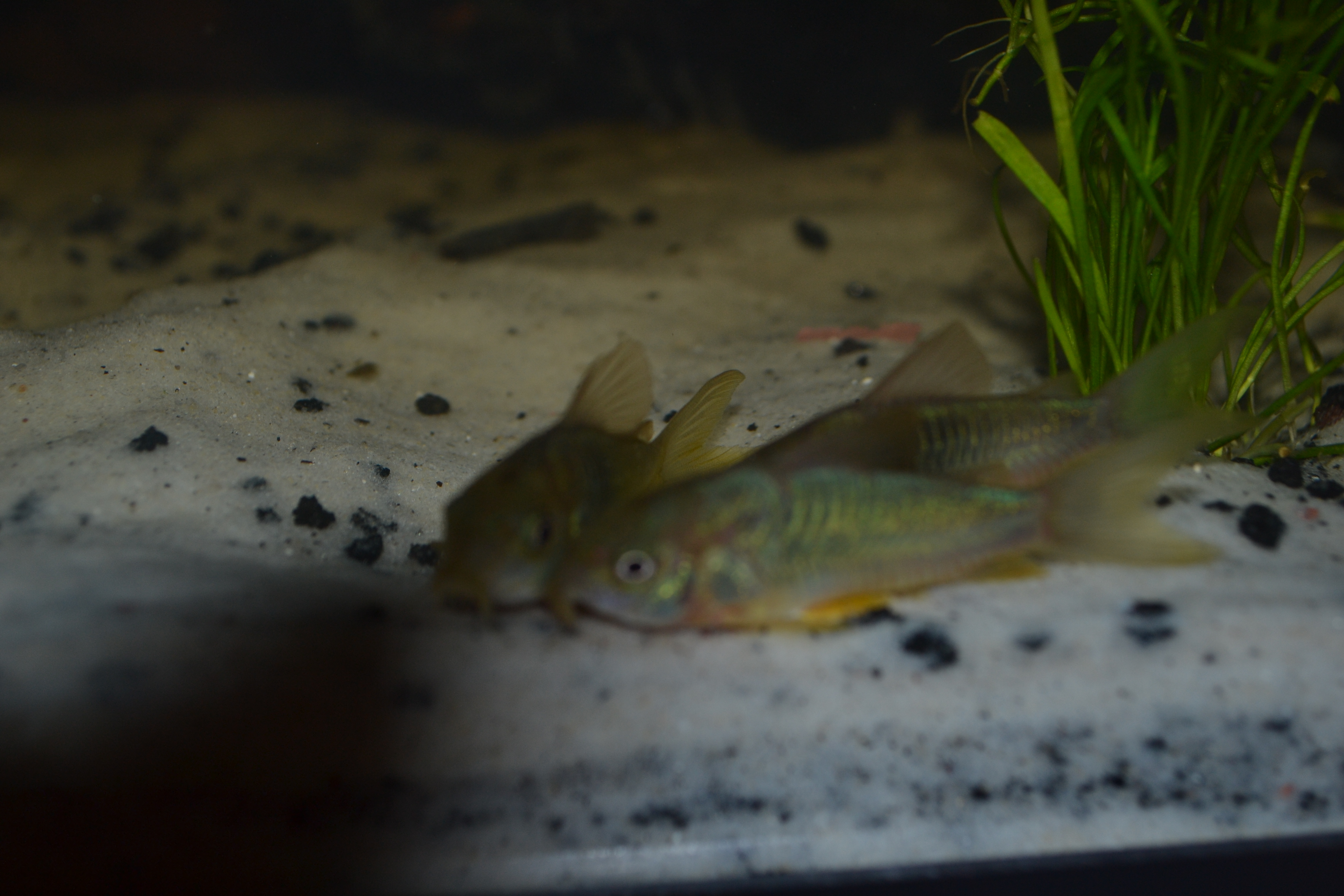 Green cory catfish for Cory cat fish