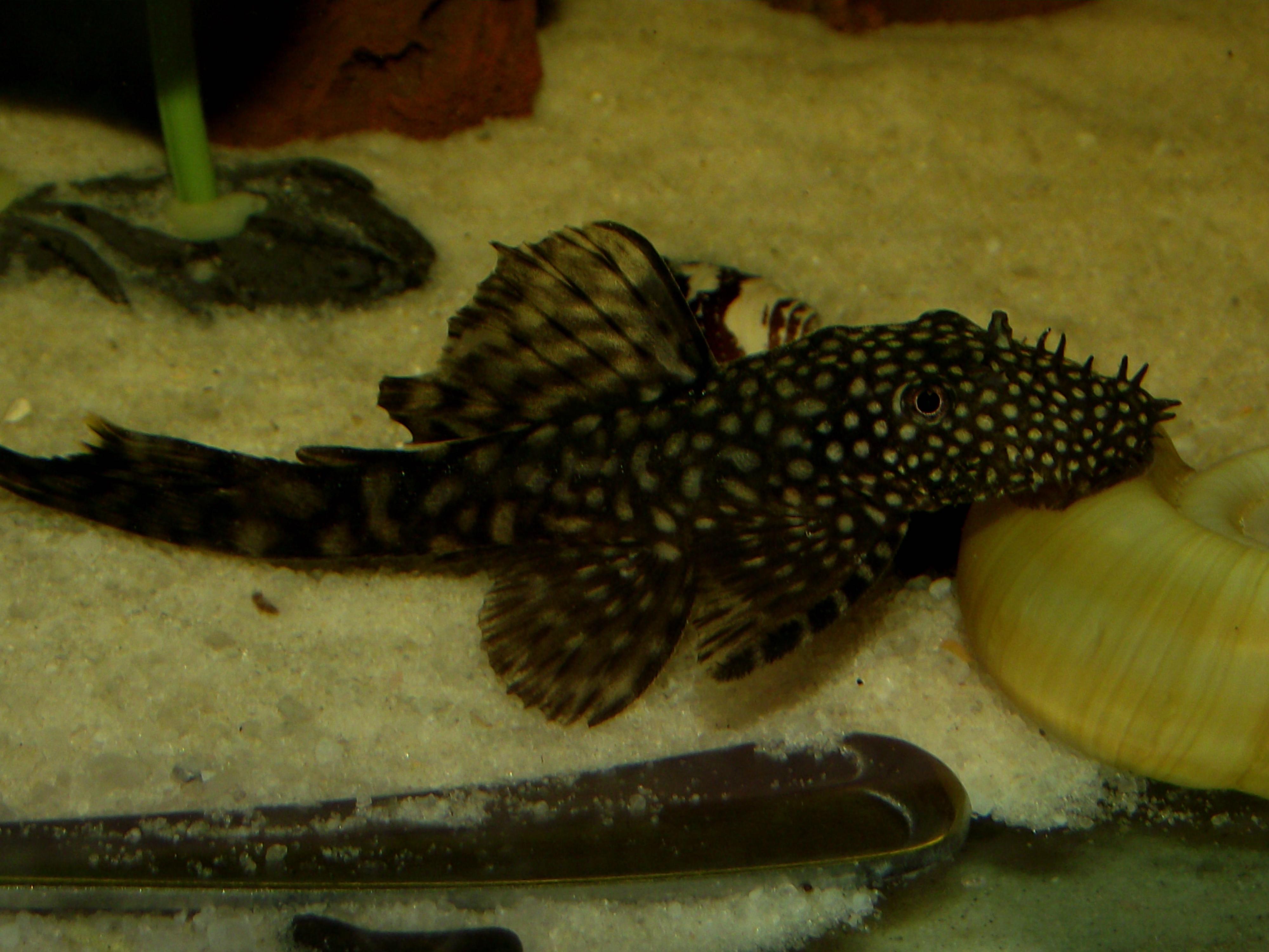 cichlids.com: Male Bristlenose Pleco