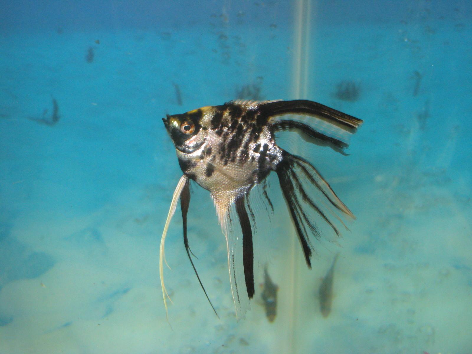 cichlids.com: Marble Angelfish