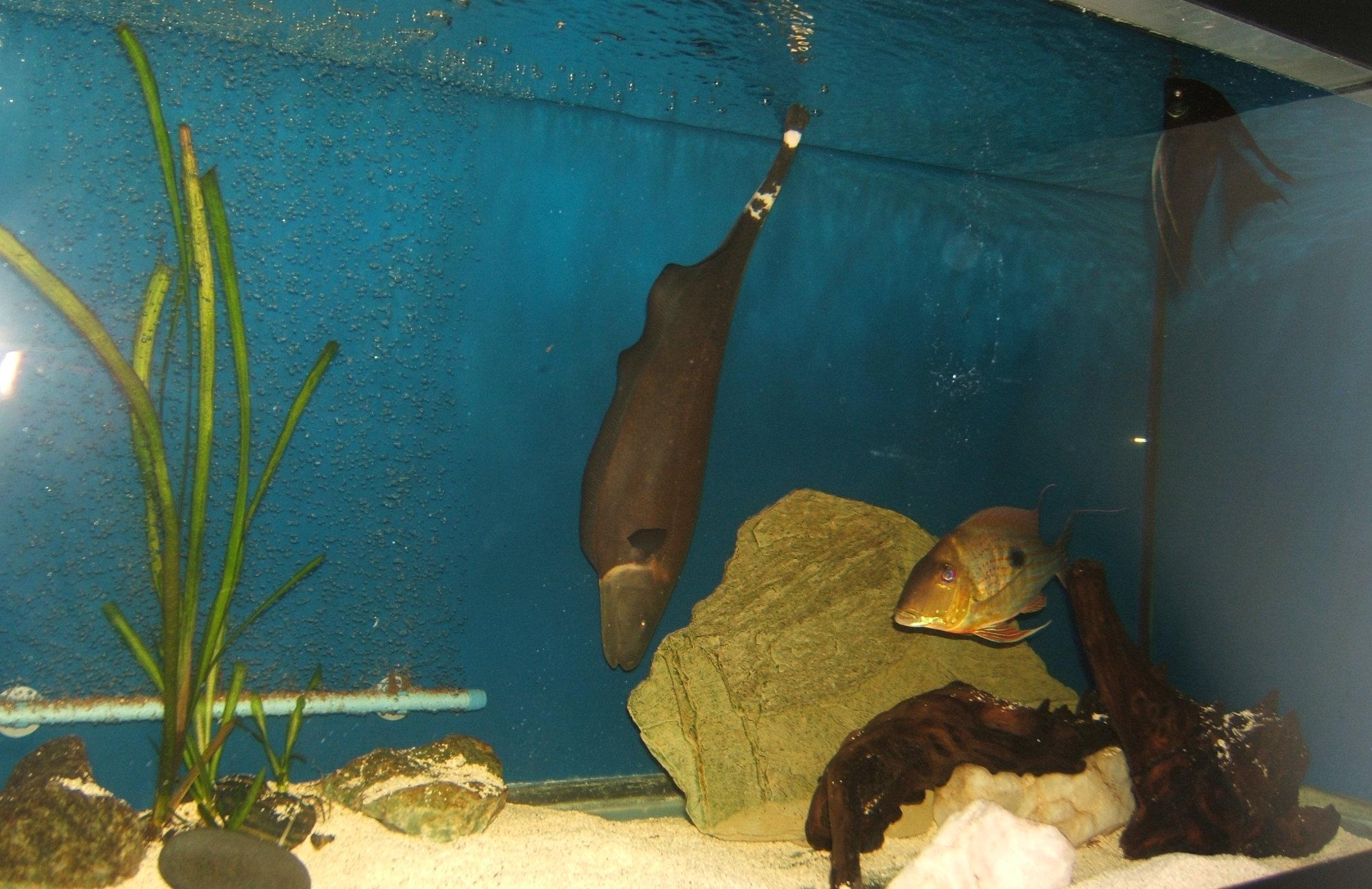 Freshwater aquarium knife fish - Black Ghost Knife Fish
