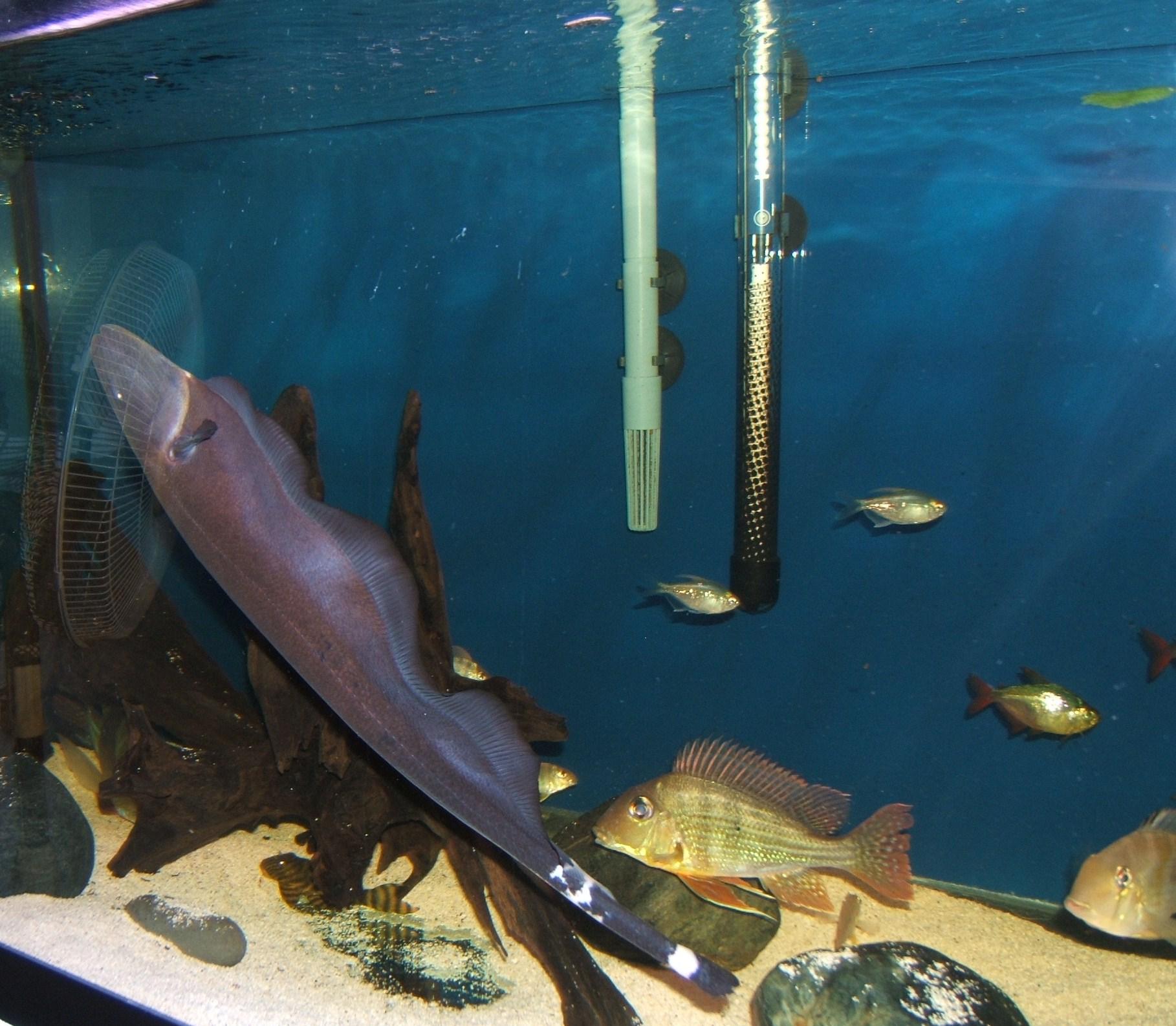 Black ghost knife fish - photo#23