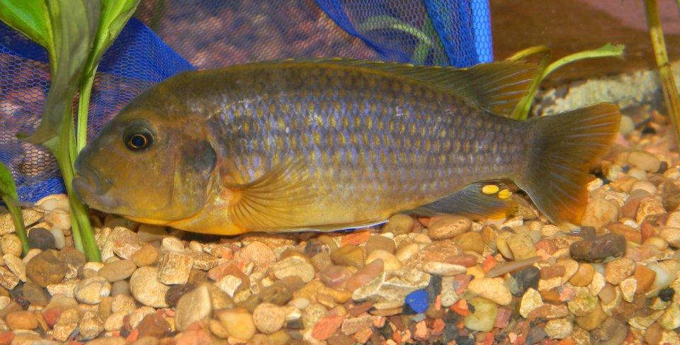 cichlids.com: Lavender Mbuna Male Iodotropheus Sprengerae