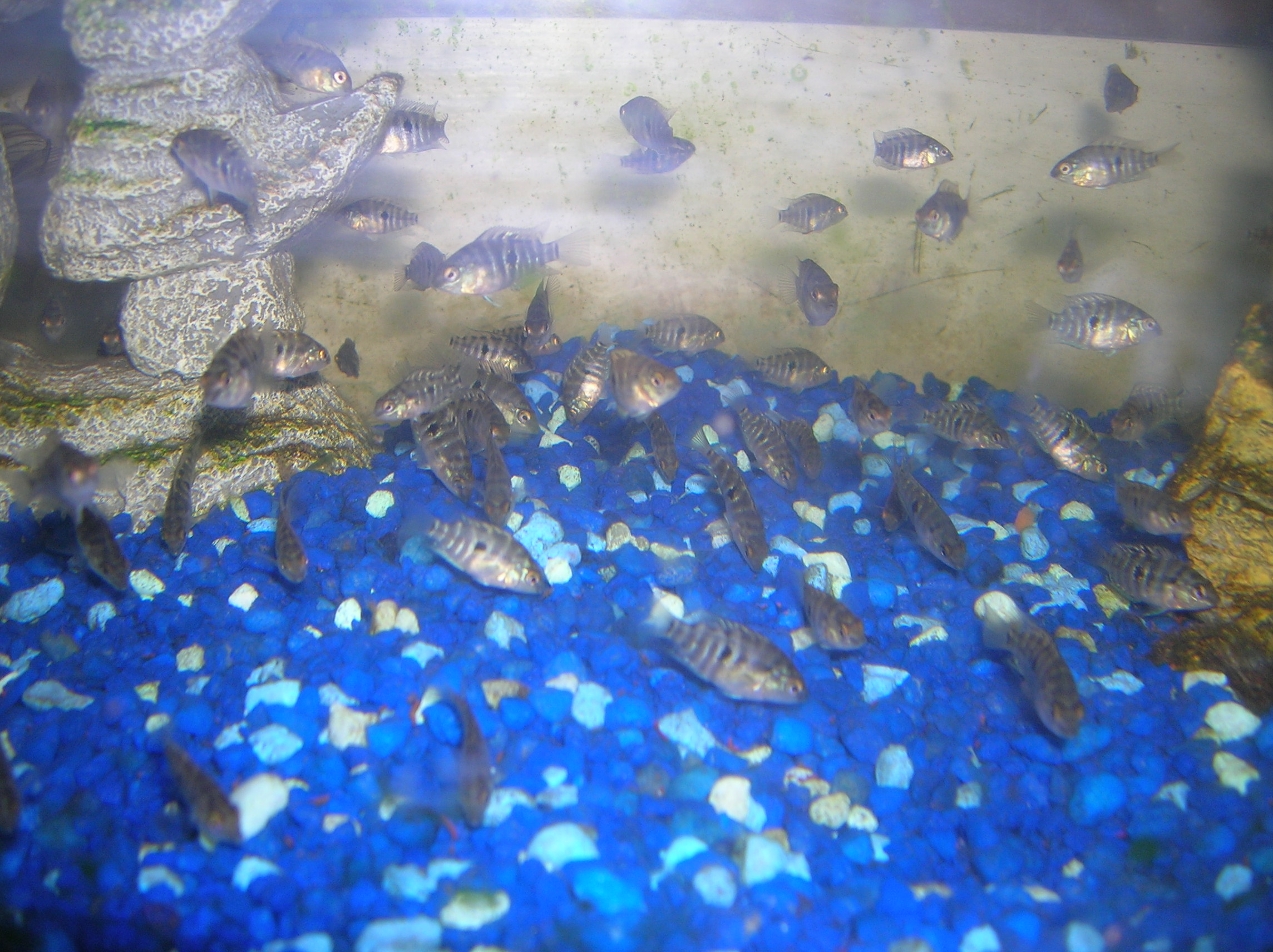 Baby Convict Fish Fry Months