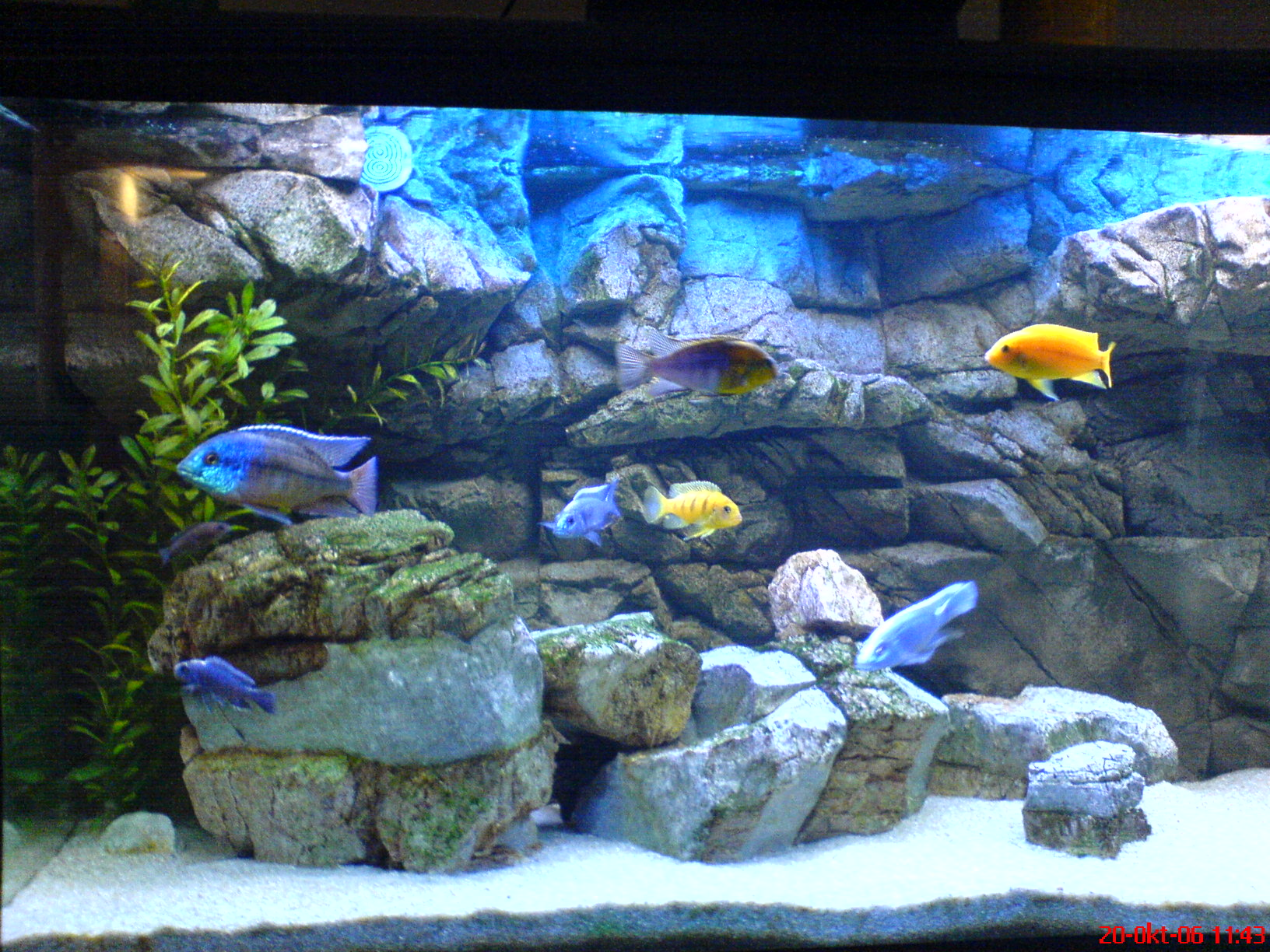 Malawi tank for Decoration poisson aquarium