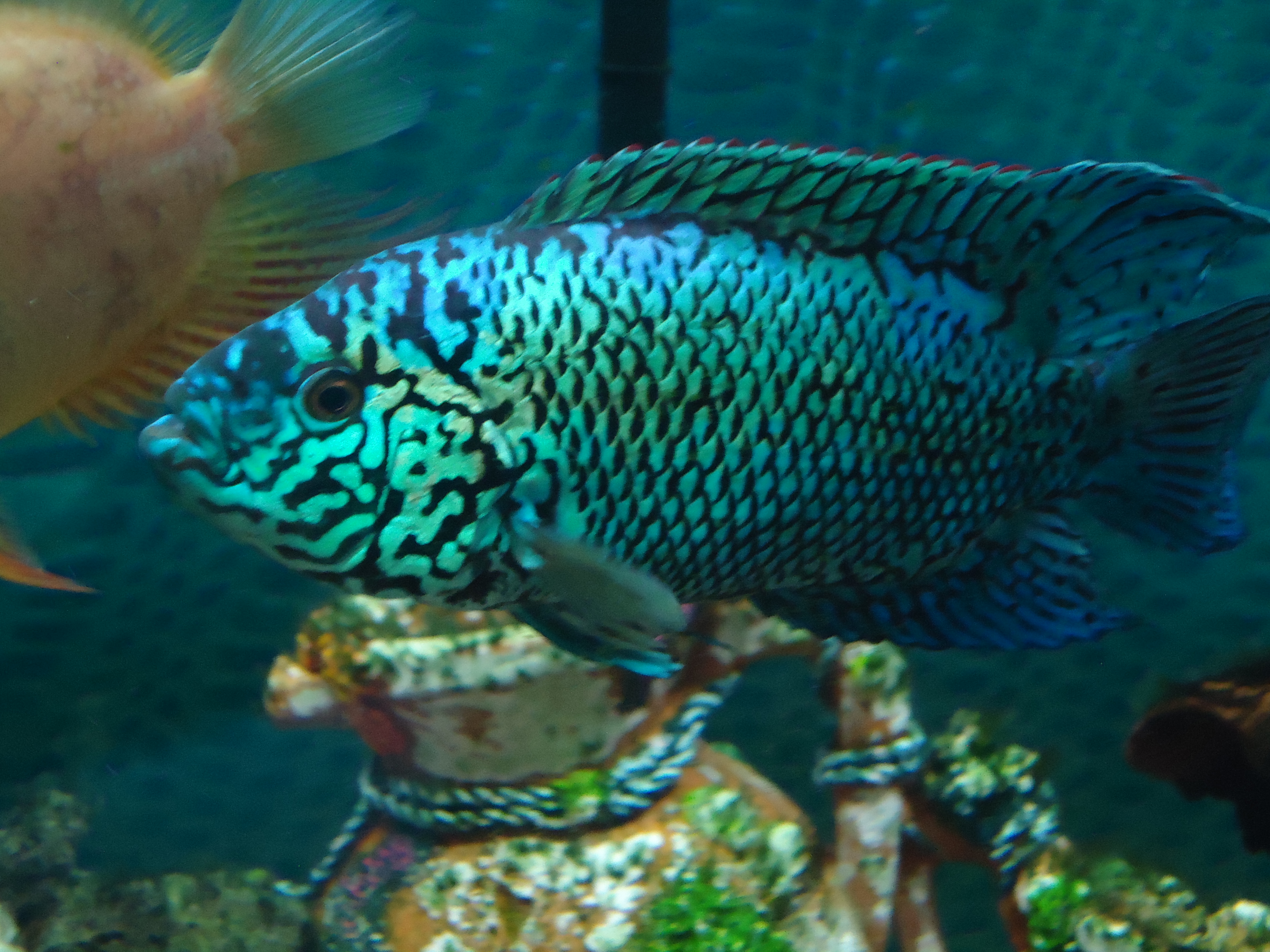 cichlids.com: Electric blue Jack Dempsey 12months old