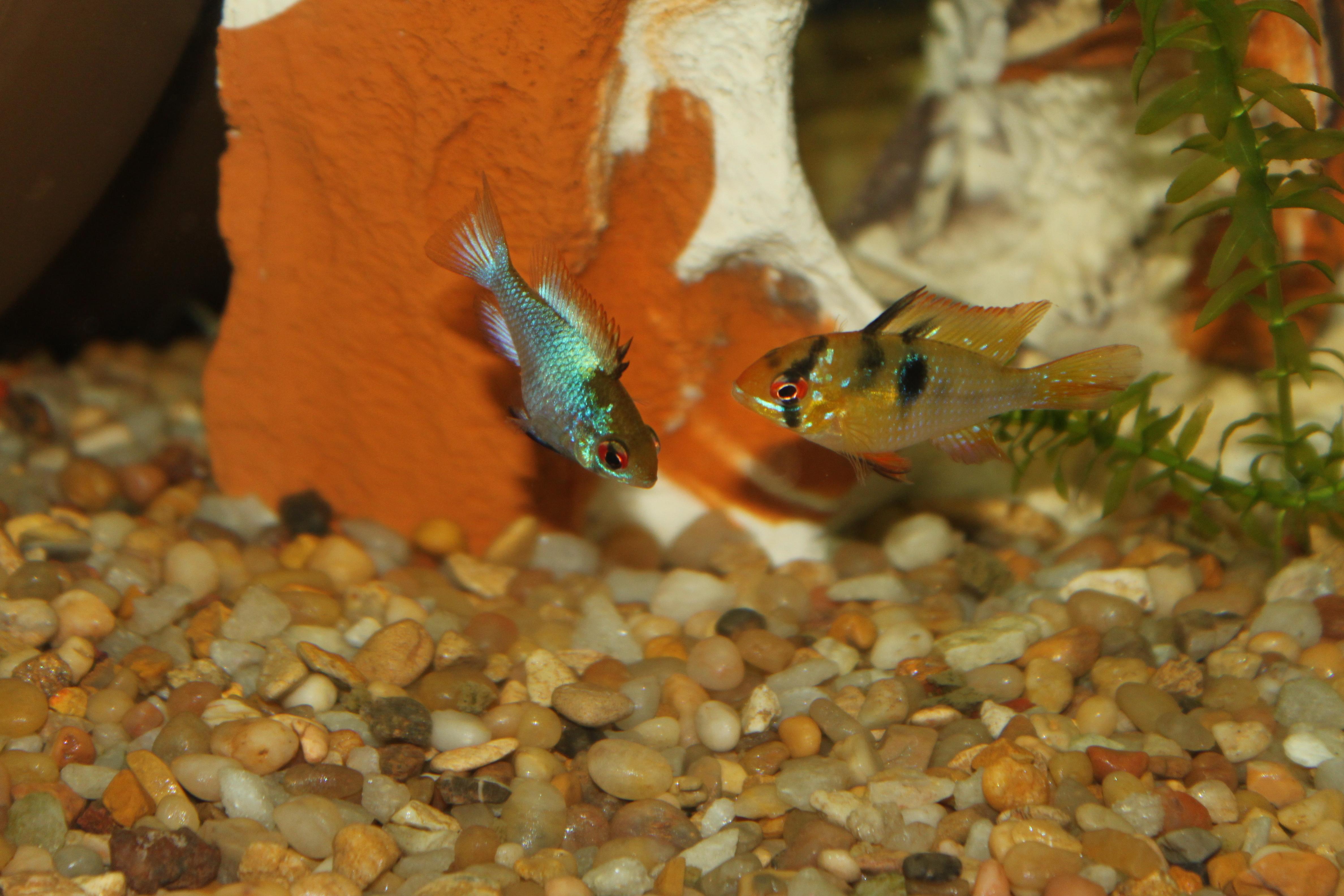 Cichlids Com Female Electric Blue And Male German Blue Ram