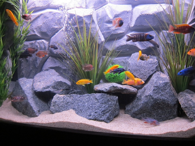 Tank examples 75 gallon african cichlids for African cichlid rock decoration