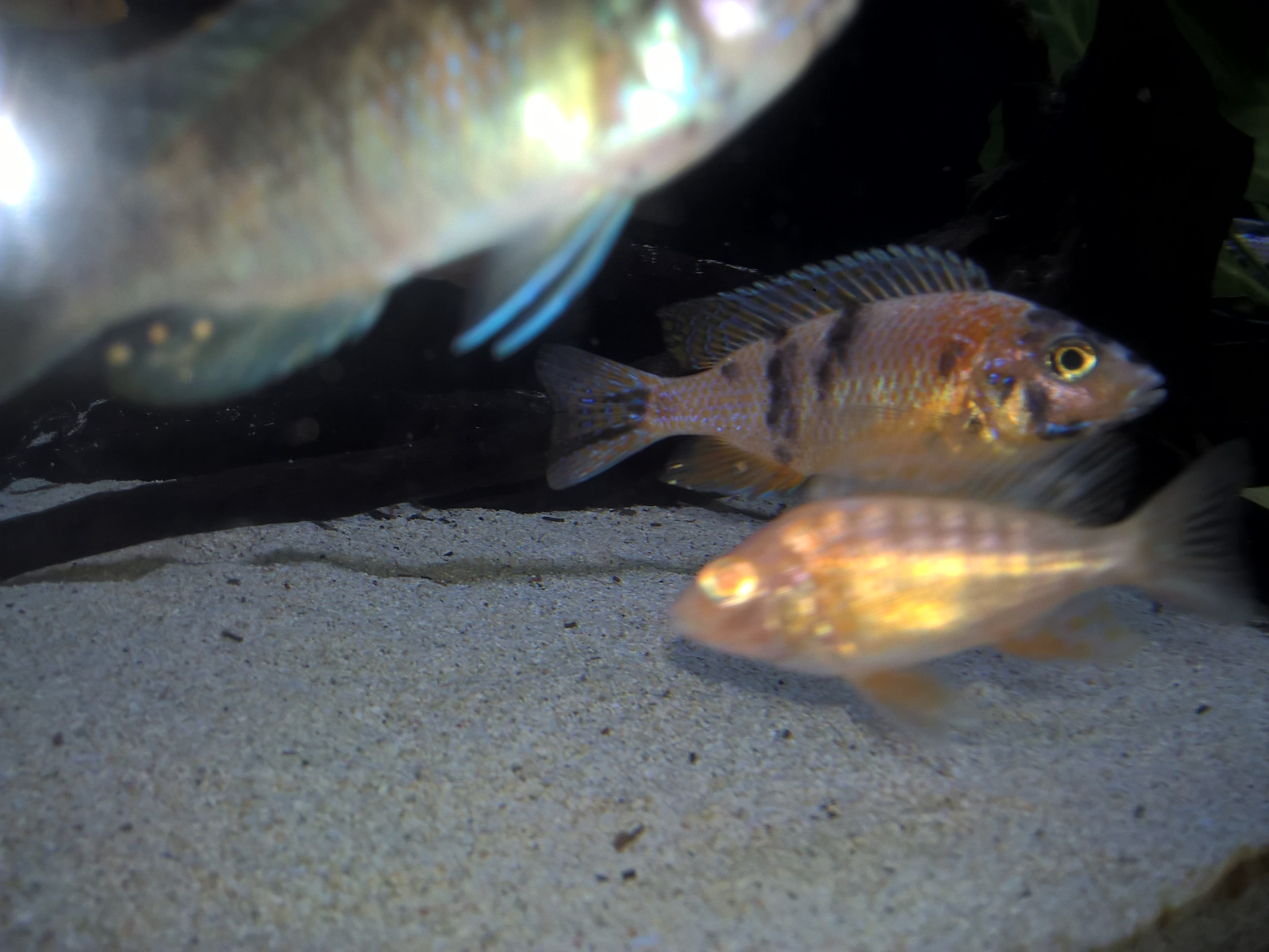 how to tell male from female cichlids