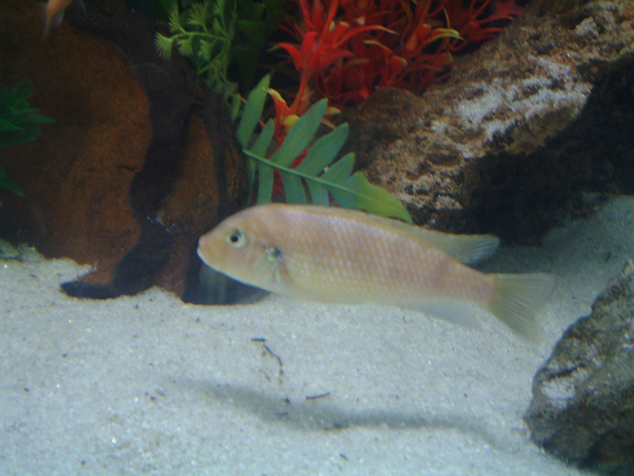 Kenyi Cichlid - Microcosm Aquarium Explorer