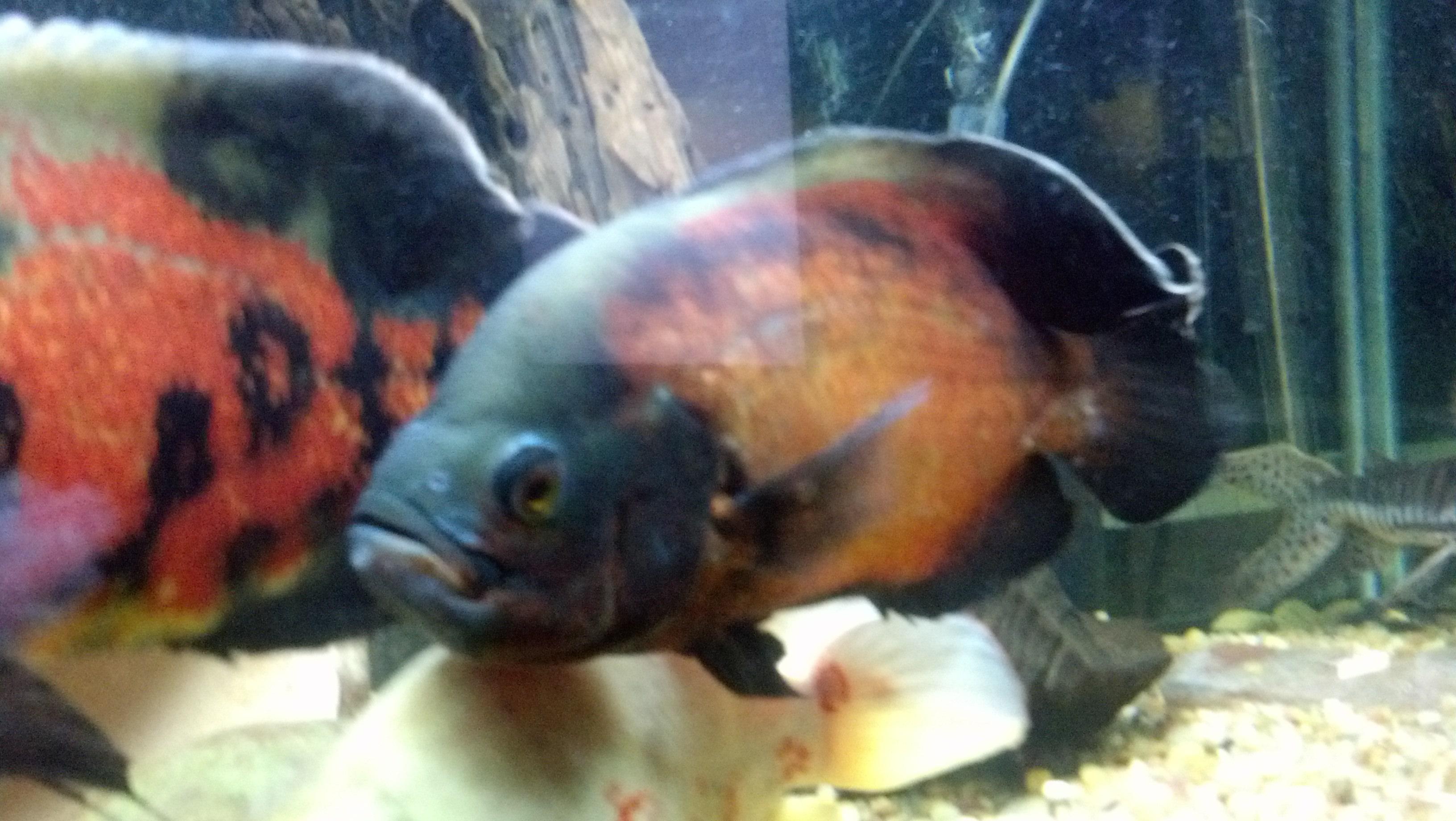 Ugly freshwater aquarium fish - Big Ugly