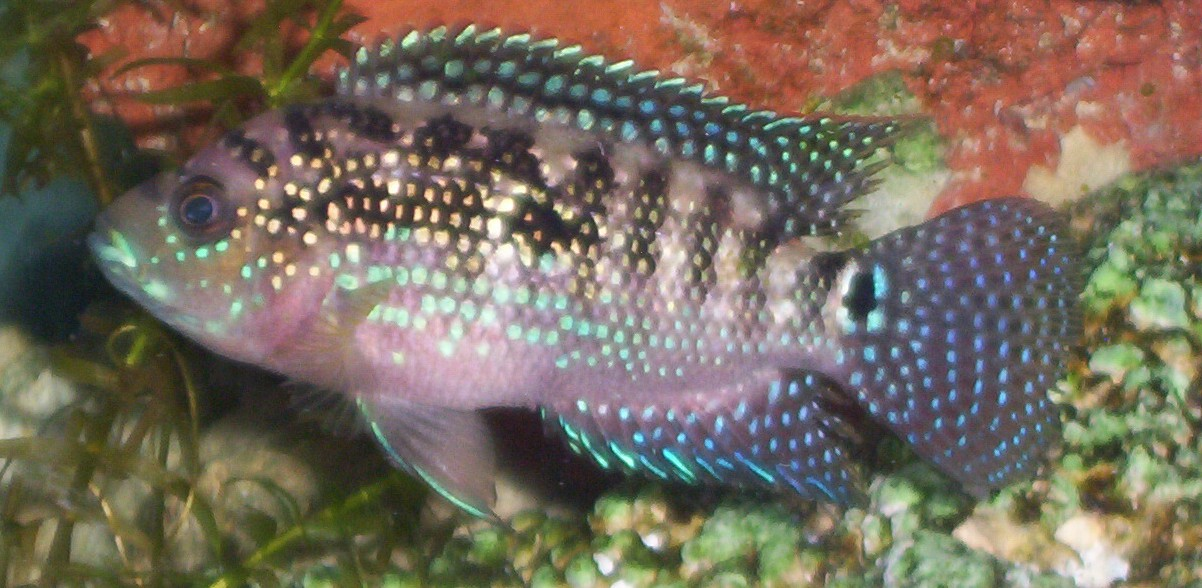 Jack dempsey male or female for Jack dempsey fish