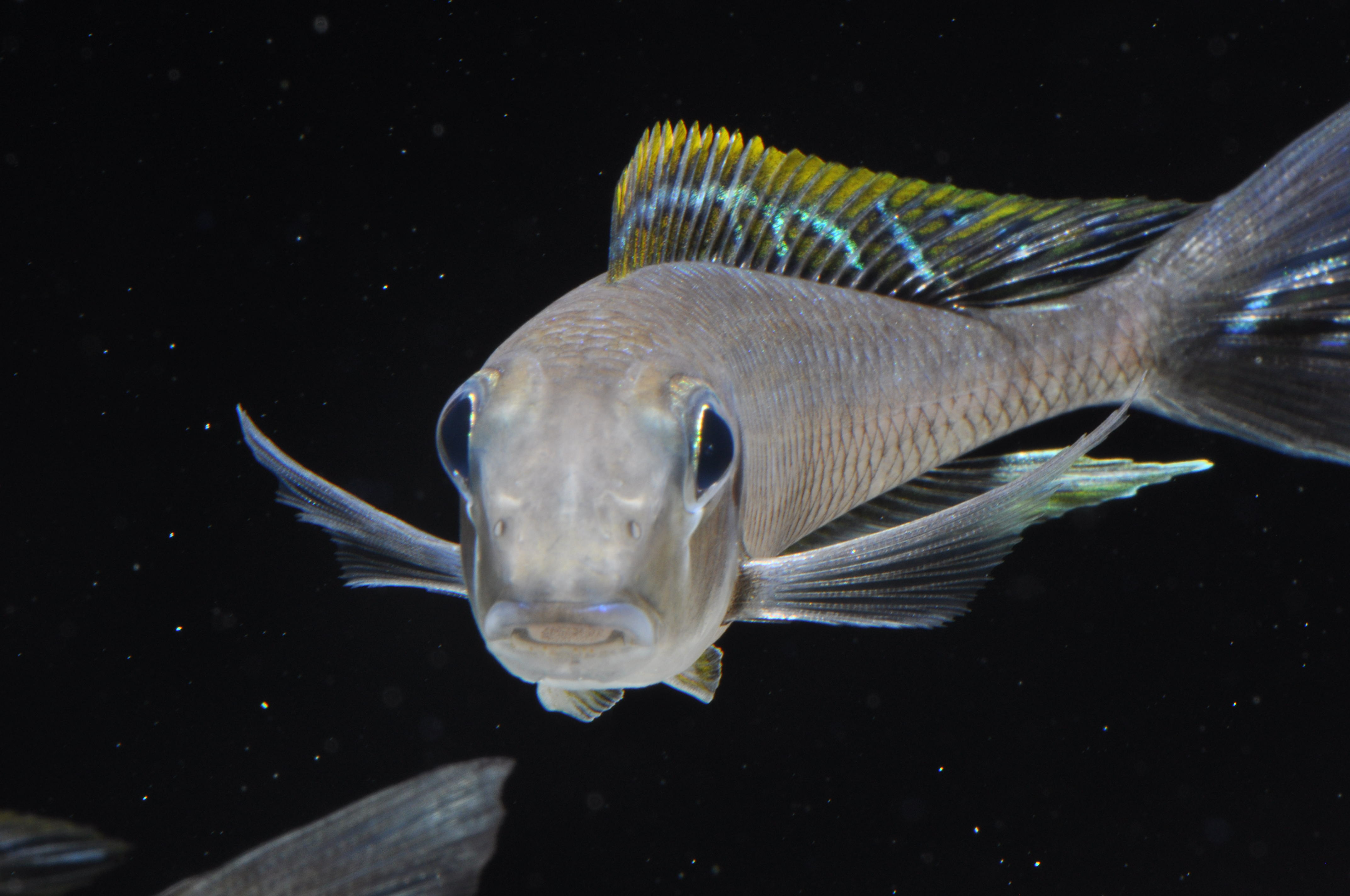 African cichlid fish the image kid has it for African cichlid fish