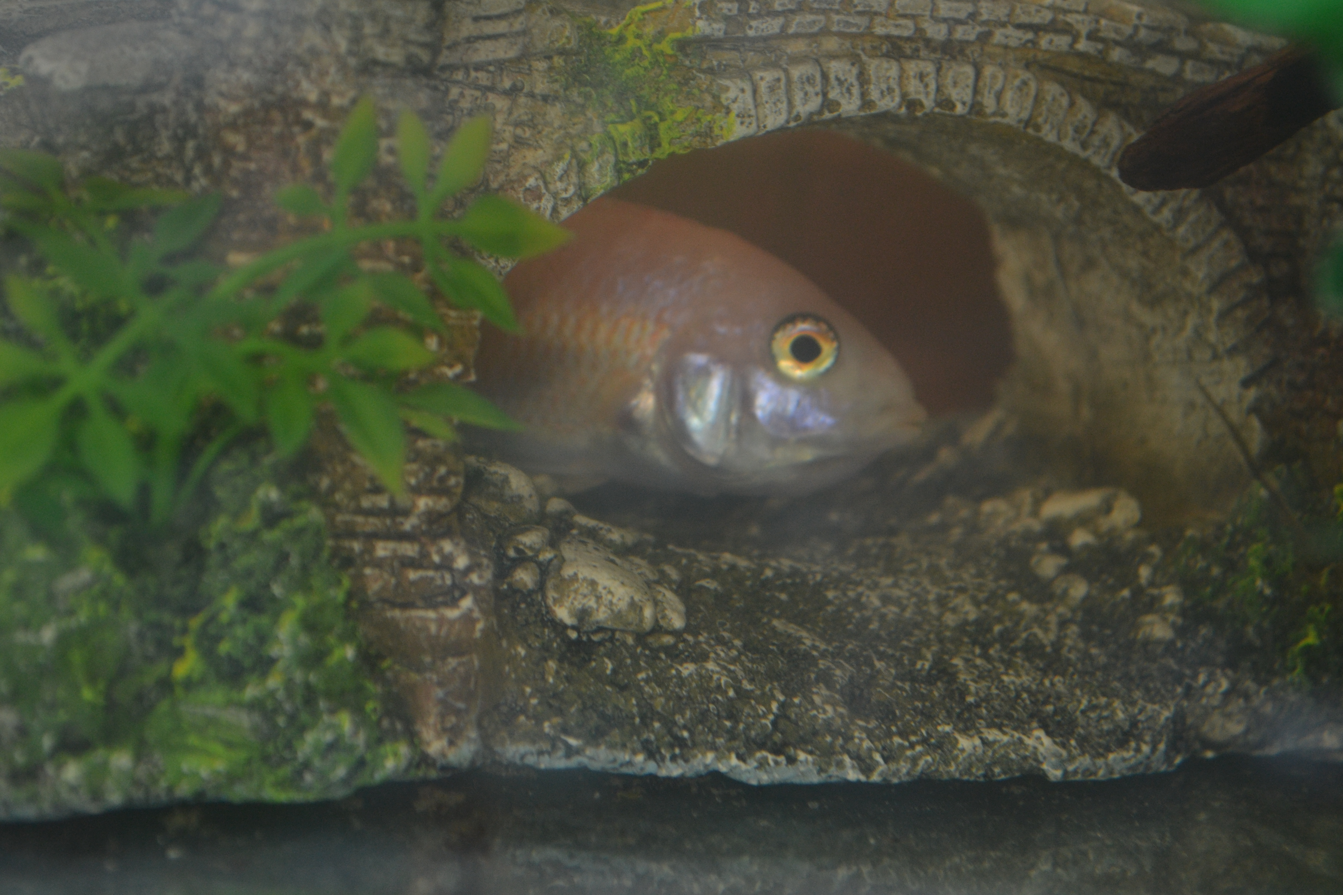 cichlids.com: female Sunburst Peacock holding