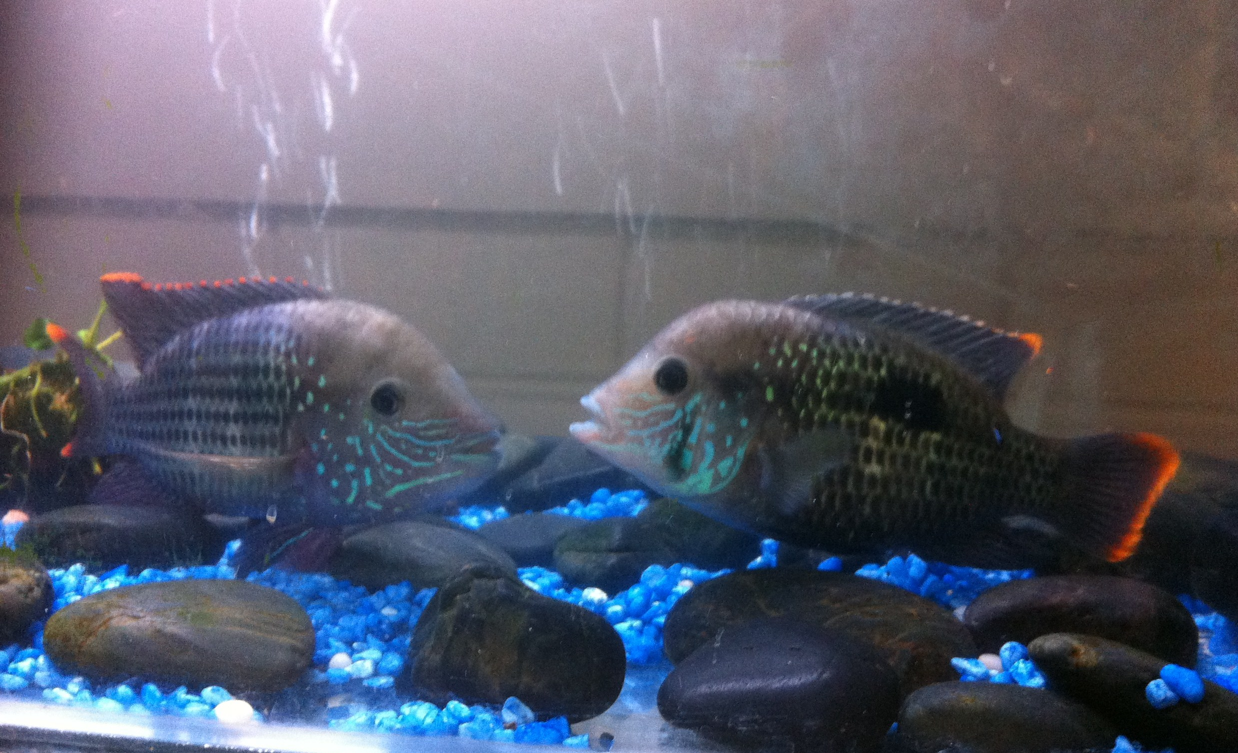 cichlids how to tell male from female