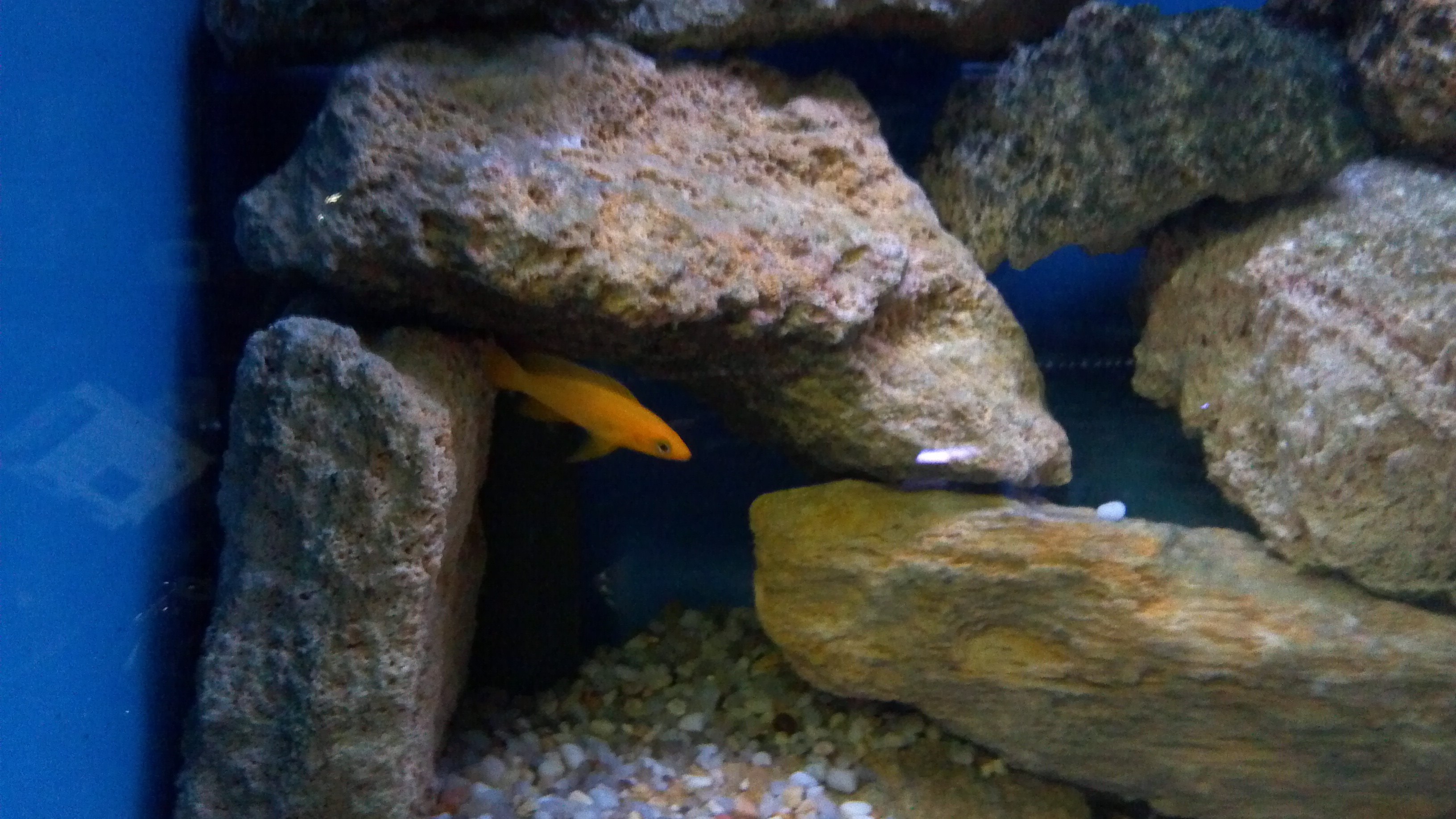how to get cichlids to grow fast