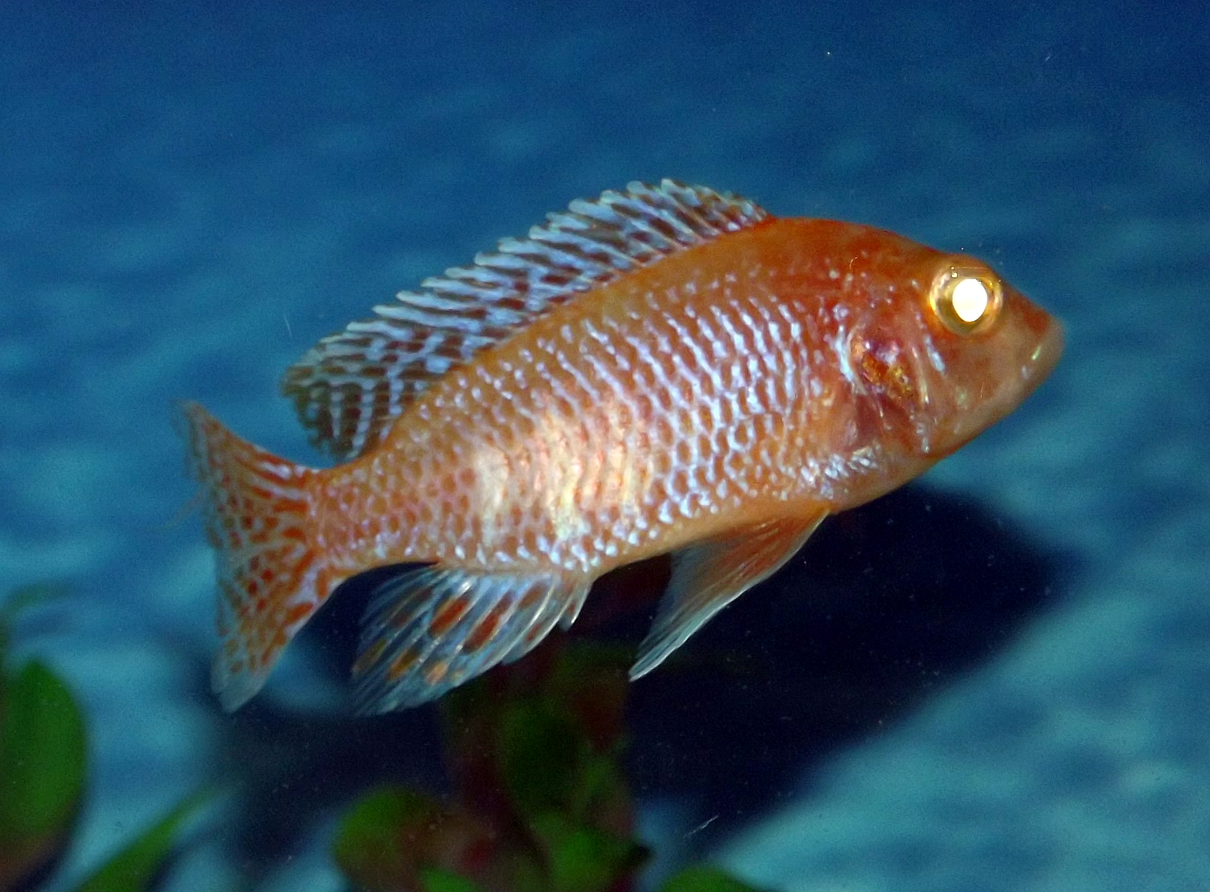 cichlids.com: Albino Strawberry Peacock