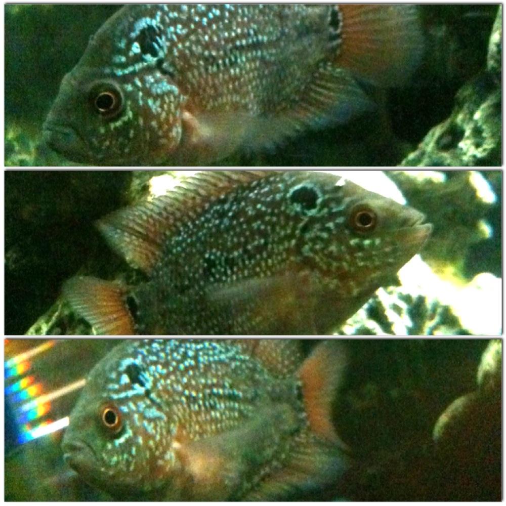 cichlids.com: My baby cichlid _ _ _ _ _ _ _ flowerhorn?