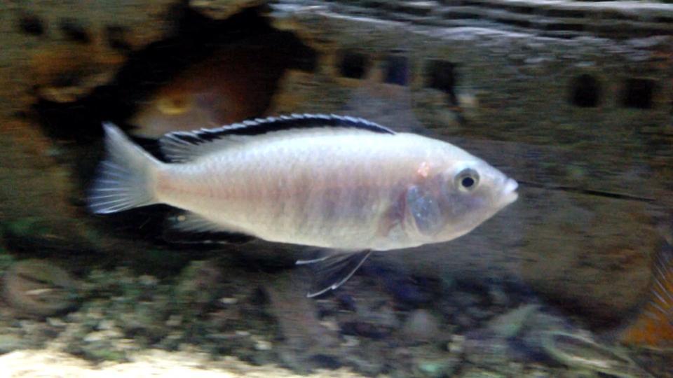 labidochromis caeruleus nkhata  Labidochromis Caeruleus Nkhata Bay