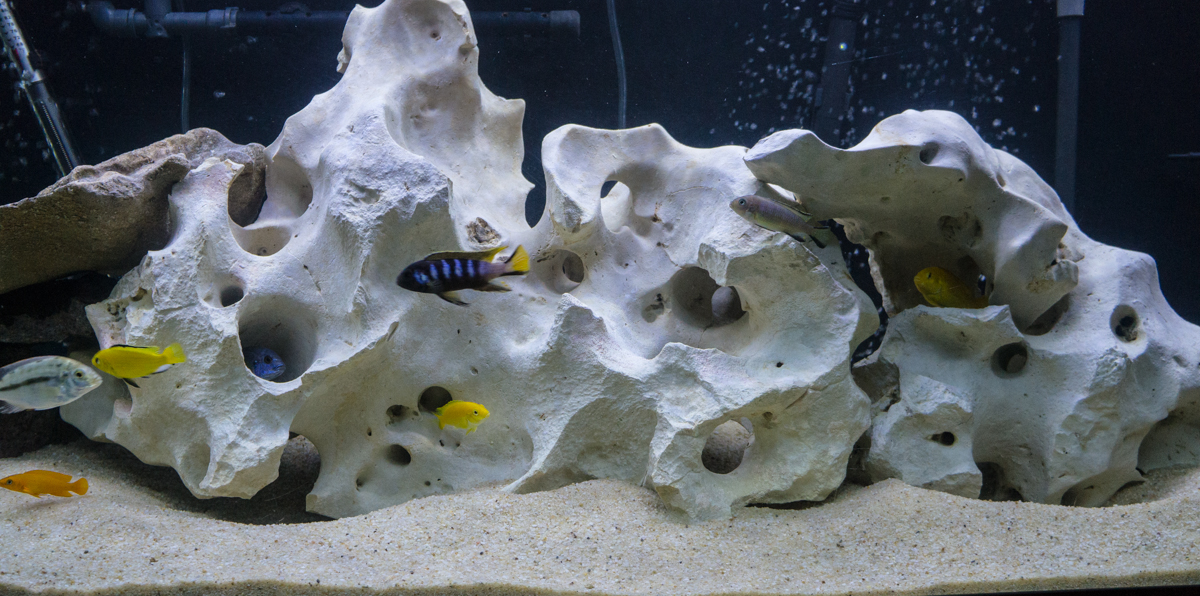 Tank examples all male peacock hap 125g for African cichlid rock decoration