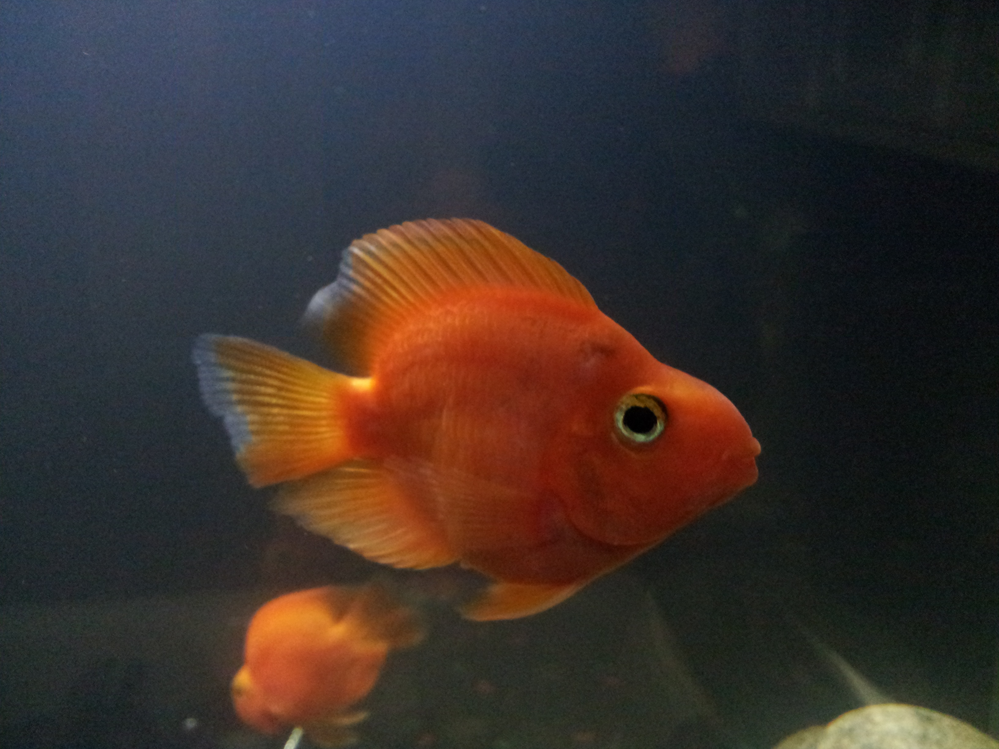 Red parrot for Red parrot fish