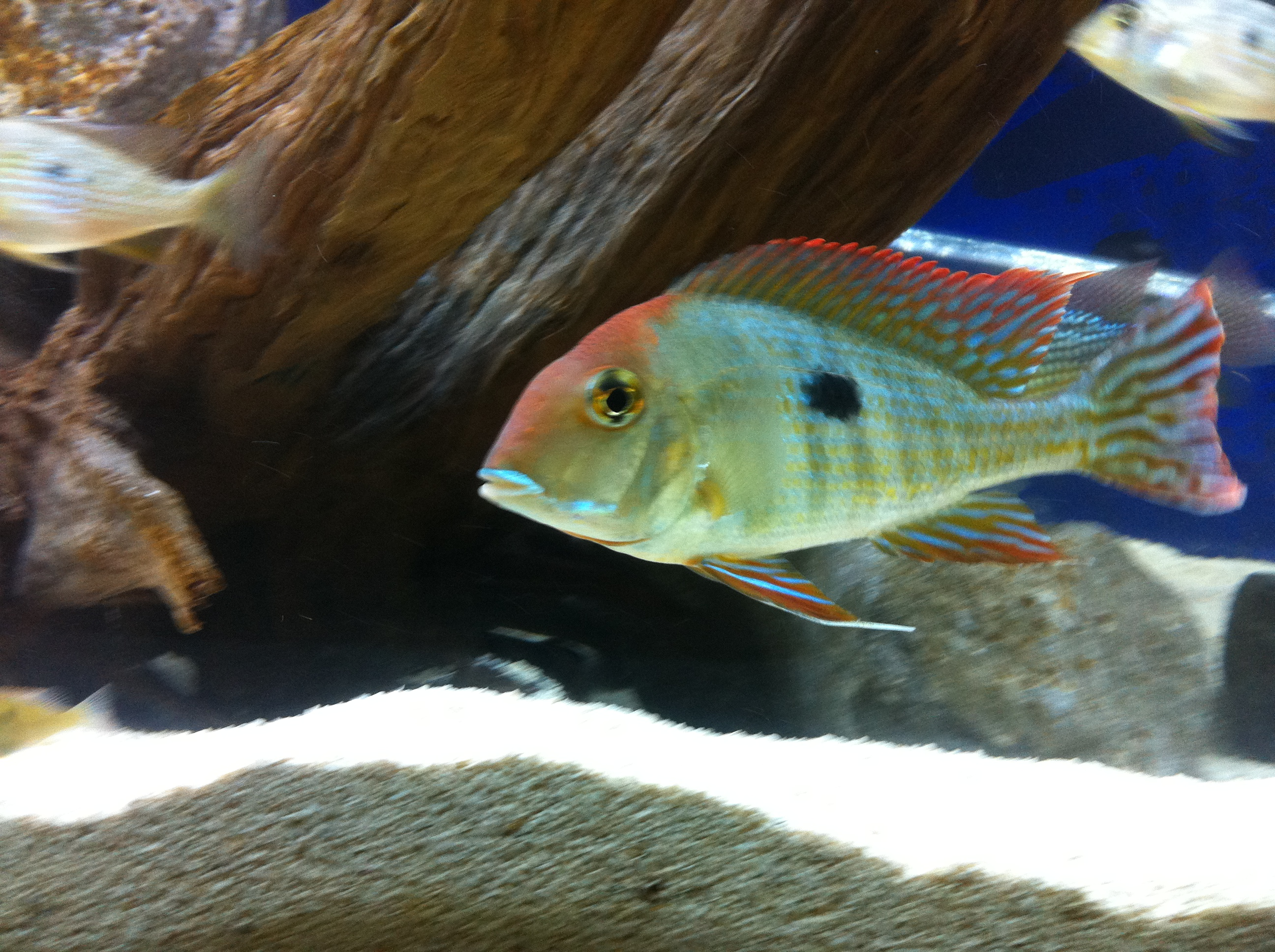 South american cichlids list - photo#10