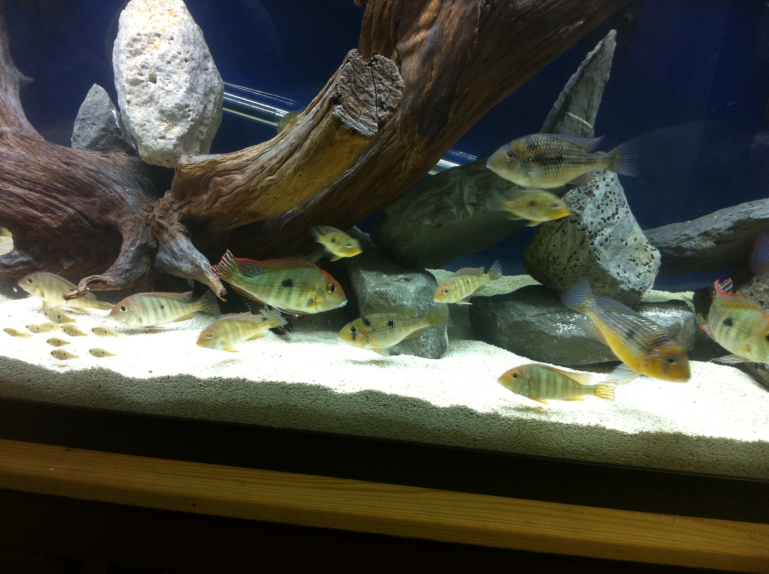 South american cichlids list - photo#3